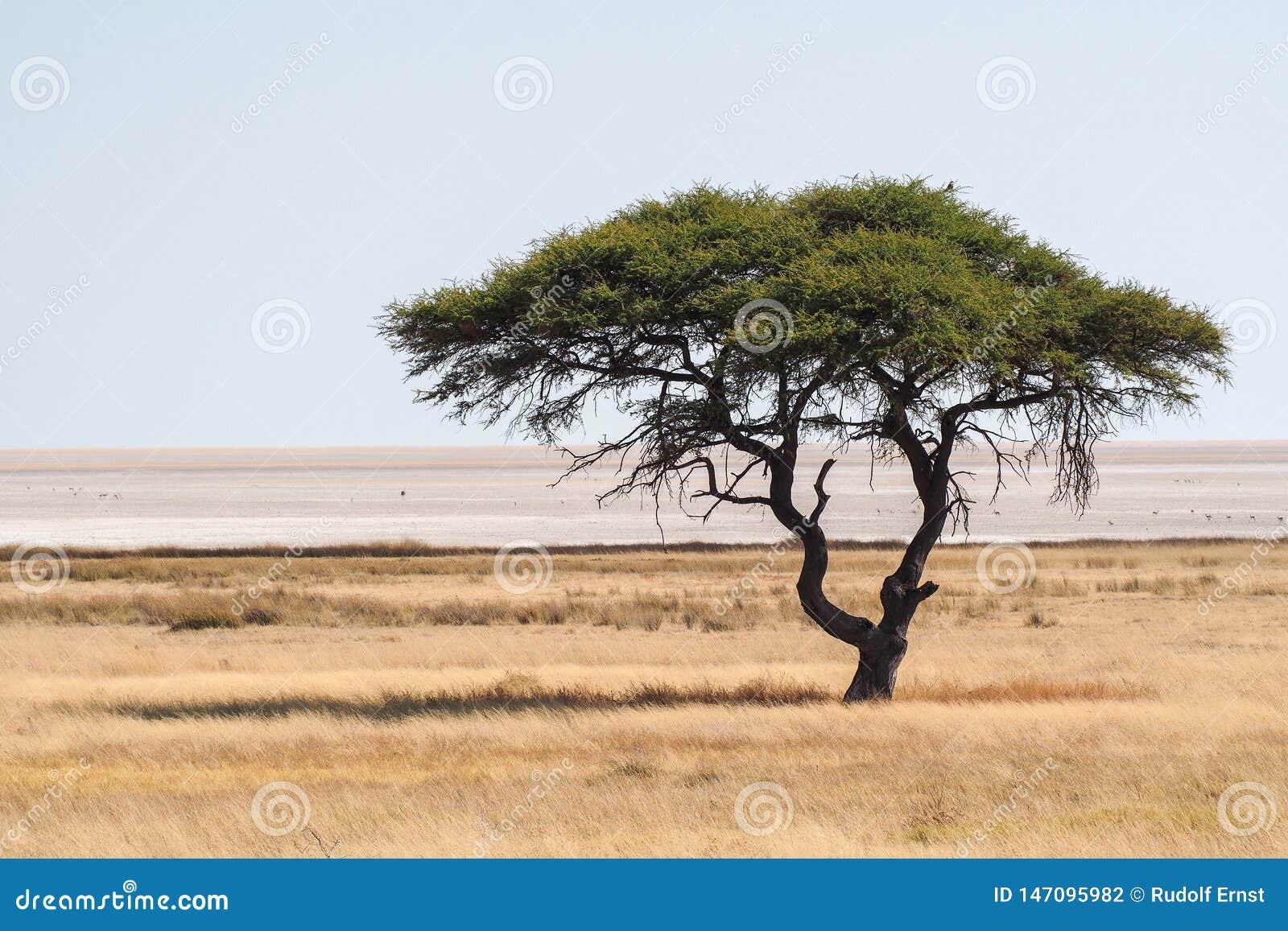 Wielki Akacjowy drzewo w Etosha parku narodowym w Namibia
