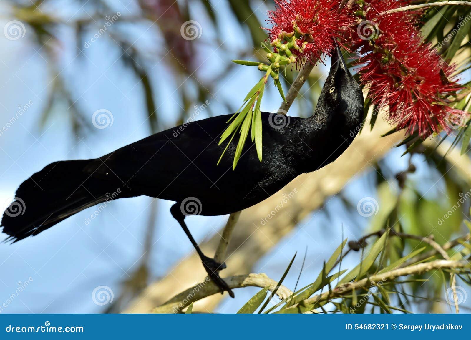 Wielki Antillean grackle (Quiscalus Niger)