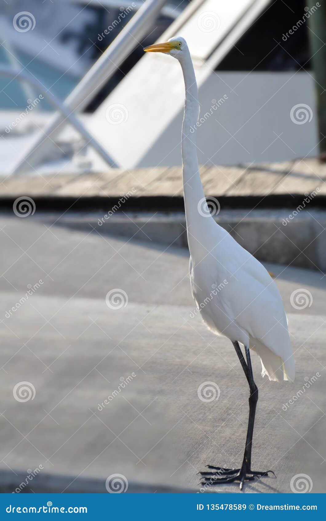 Wielki biały egret patrzeje kamerę z śmiesznym lub zdziwionym otwartym belfra wyrażeniem z pokojem dla kopii