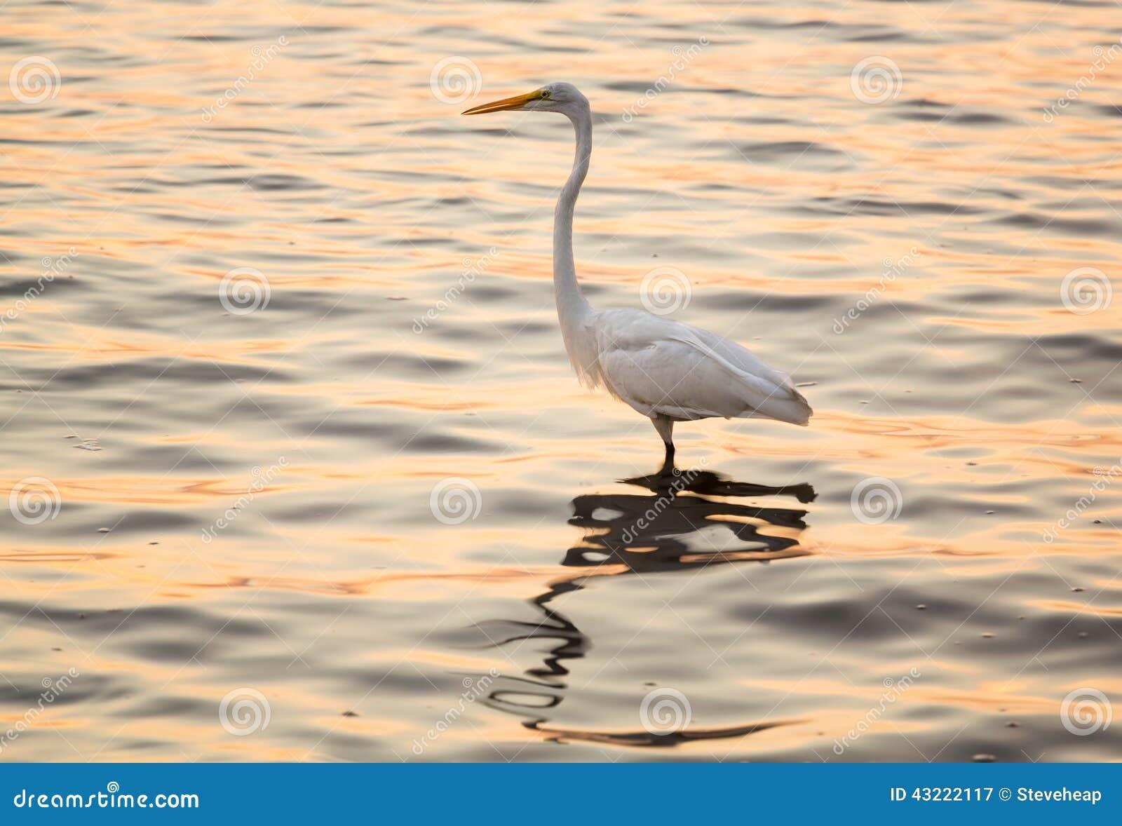 Wielki biały egret w morzu z Tampa w zatoce
