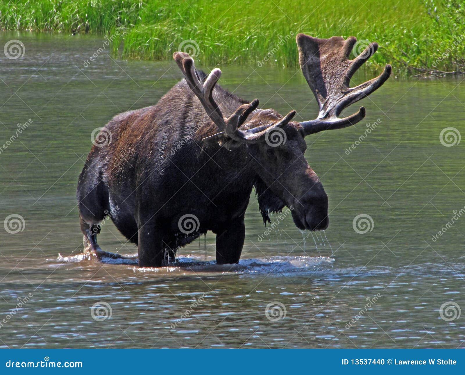 Wielki byka łoś amerykański jeden