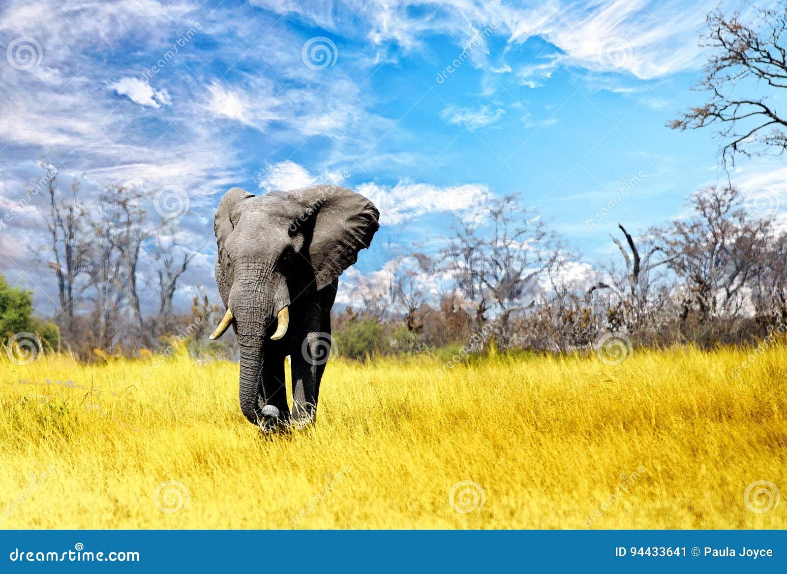 Wielki byka słonia odprowadzenie przez Suche Afrykańskie równiny w Zimbabwe