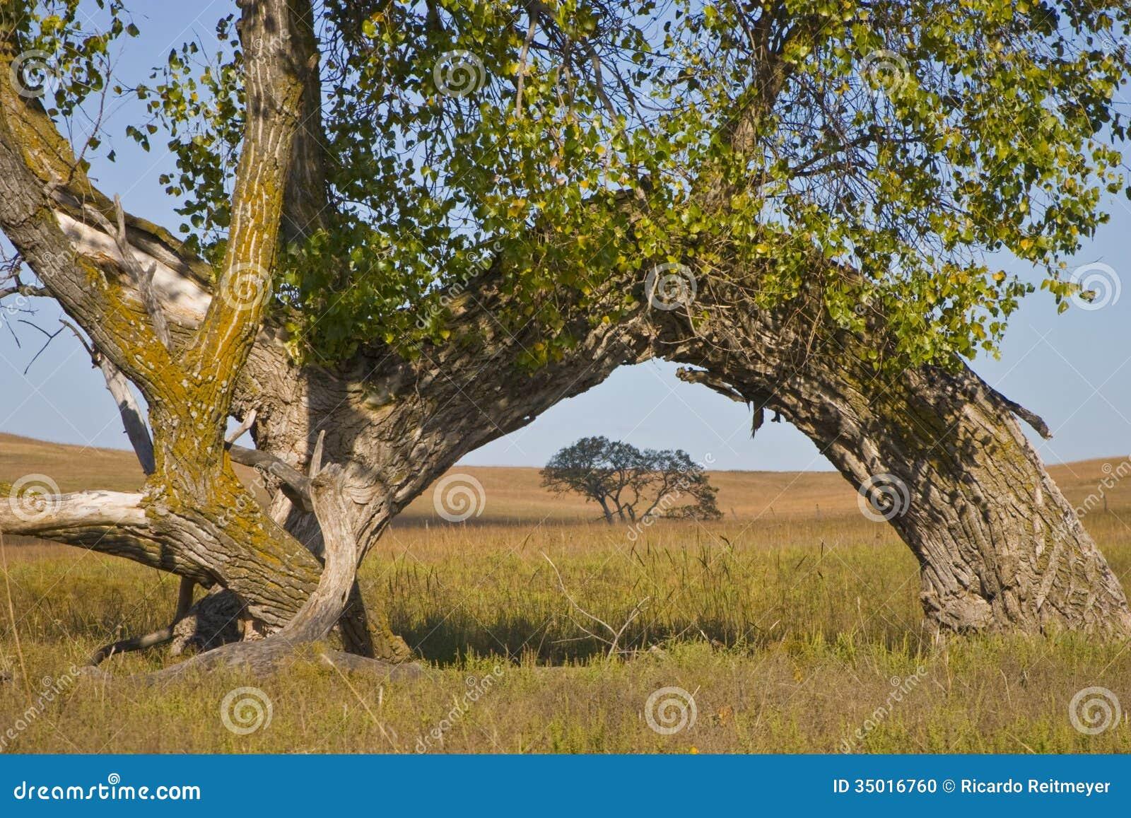 Wielki Cottonwood drzewa łuk przy Kansas Tallgrass Preryjną prezerwą