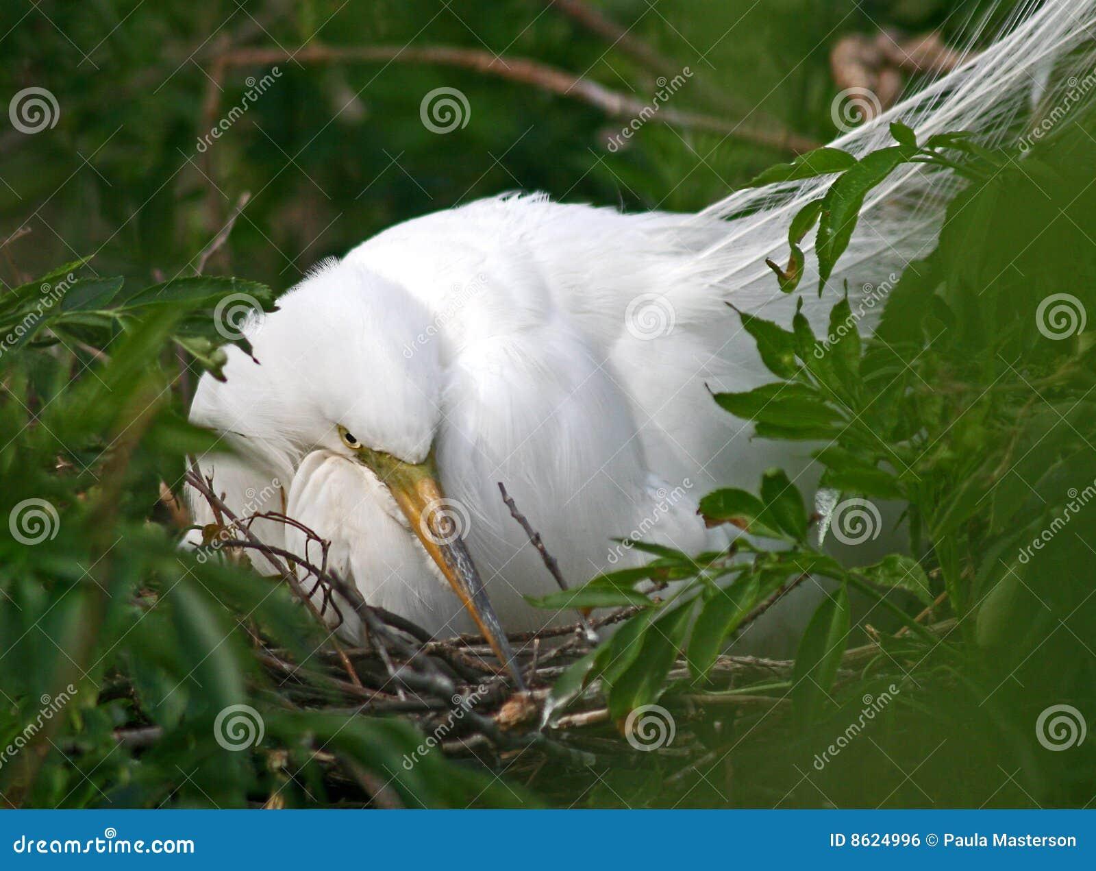 Wielki egret biel
