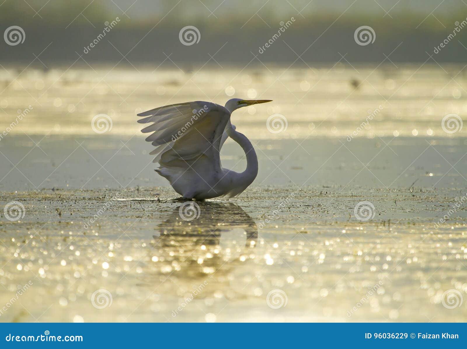 Wielki Egret z otwartymi skrzydłami