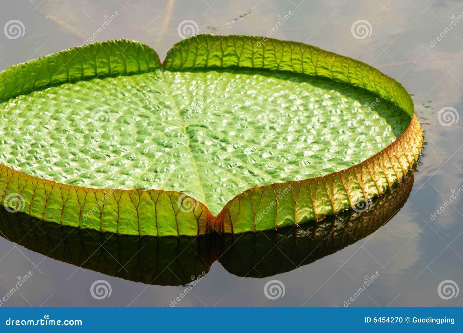 Wielki liści lotos