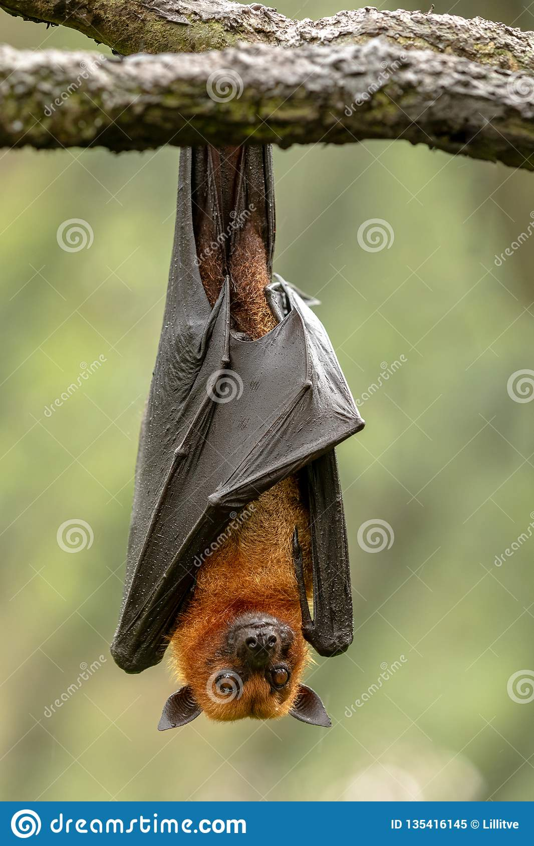 Wielki Malayan latający lis, Pteropus vampyrus, nietoperza obwieszenie od gałąź