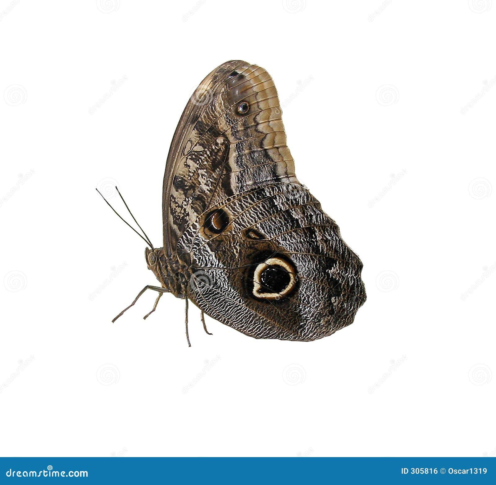 Wielki motyl