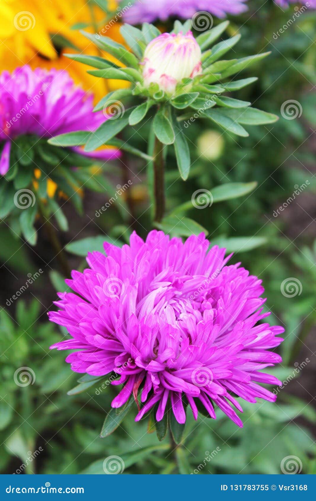 Wielki różowy asteru duet śpiewa słodką lato piosenkę Różowi astery na odosobnionym tle