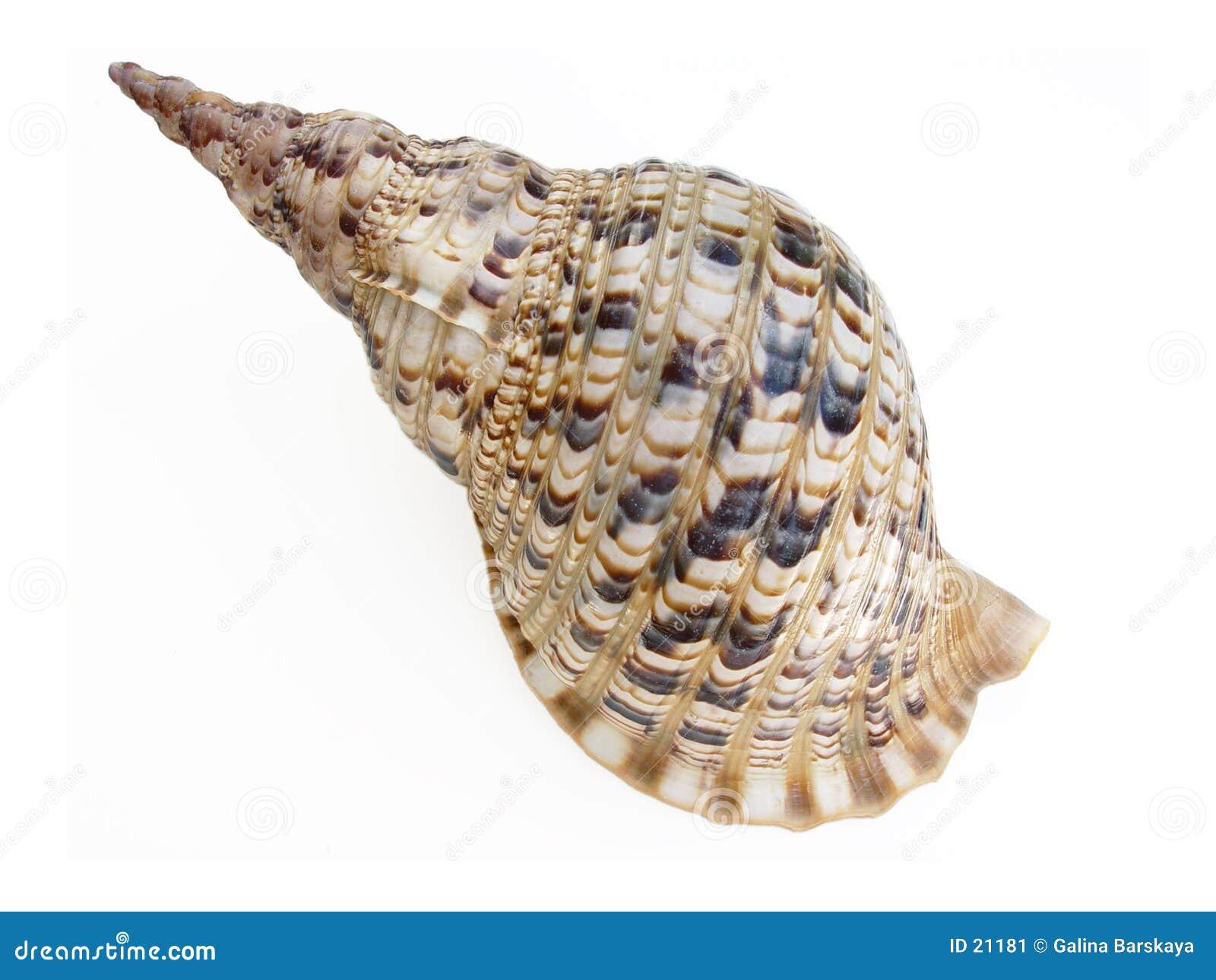 Wielki seashell