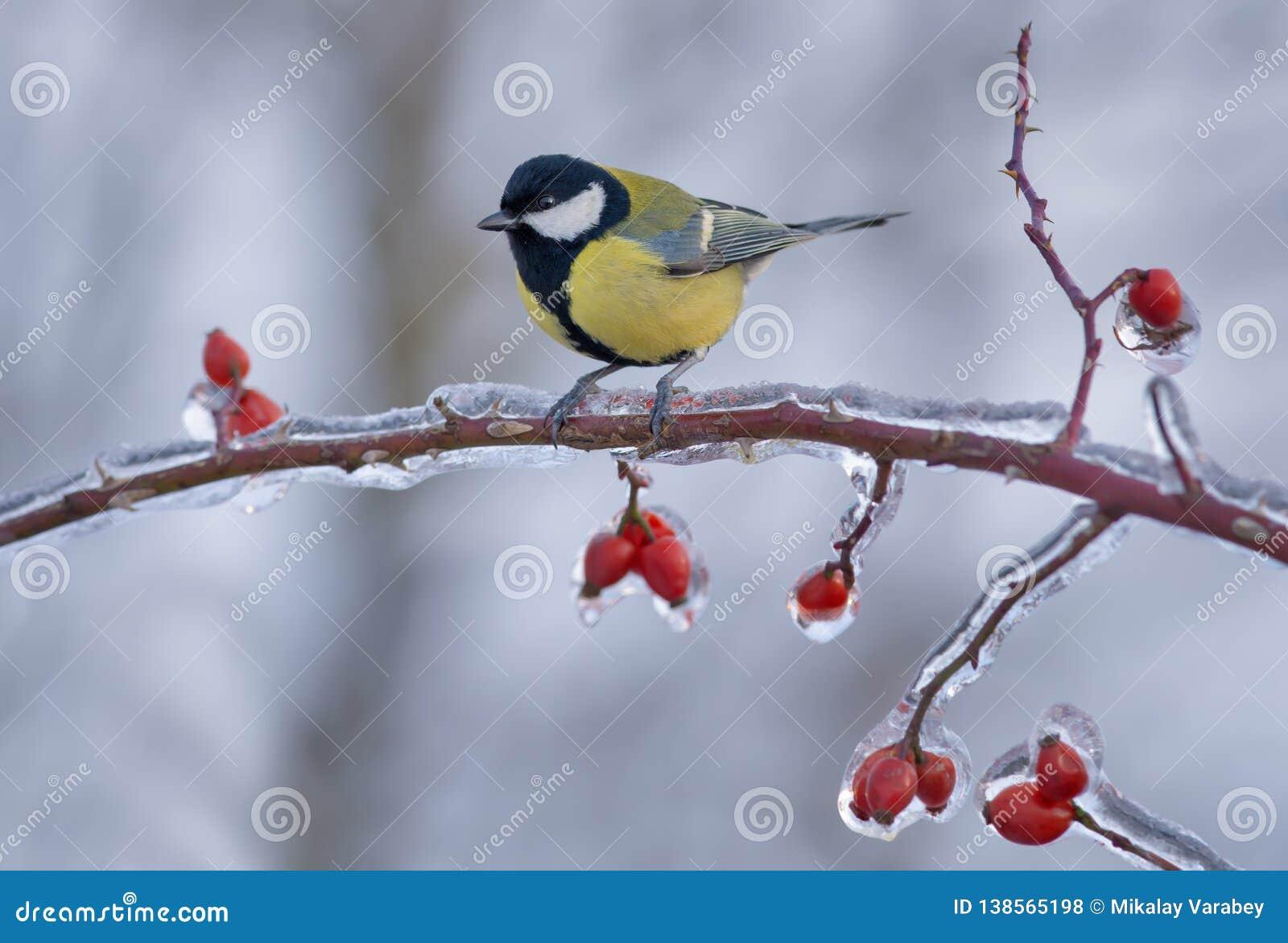 Wielki tit umieszczał na mroźnej gałąź z lodowatymi jagodami w zimie