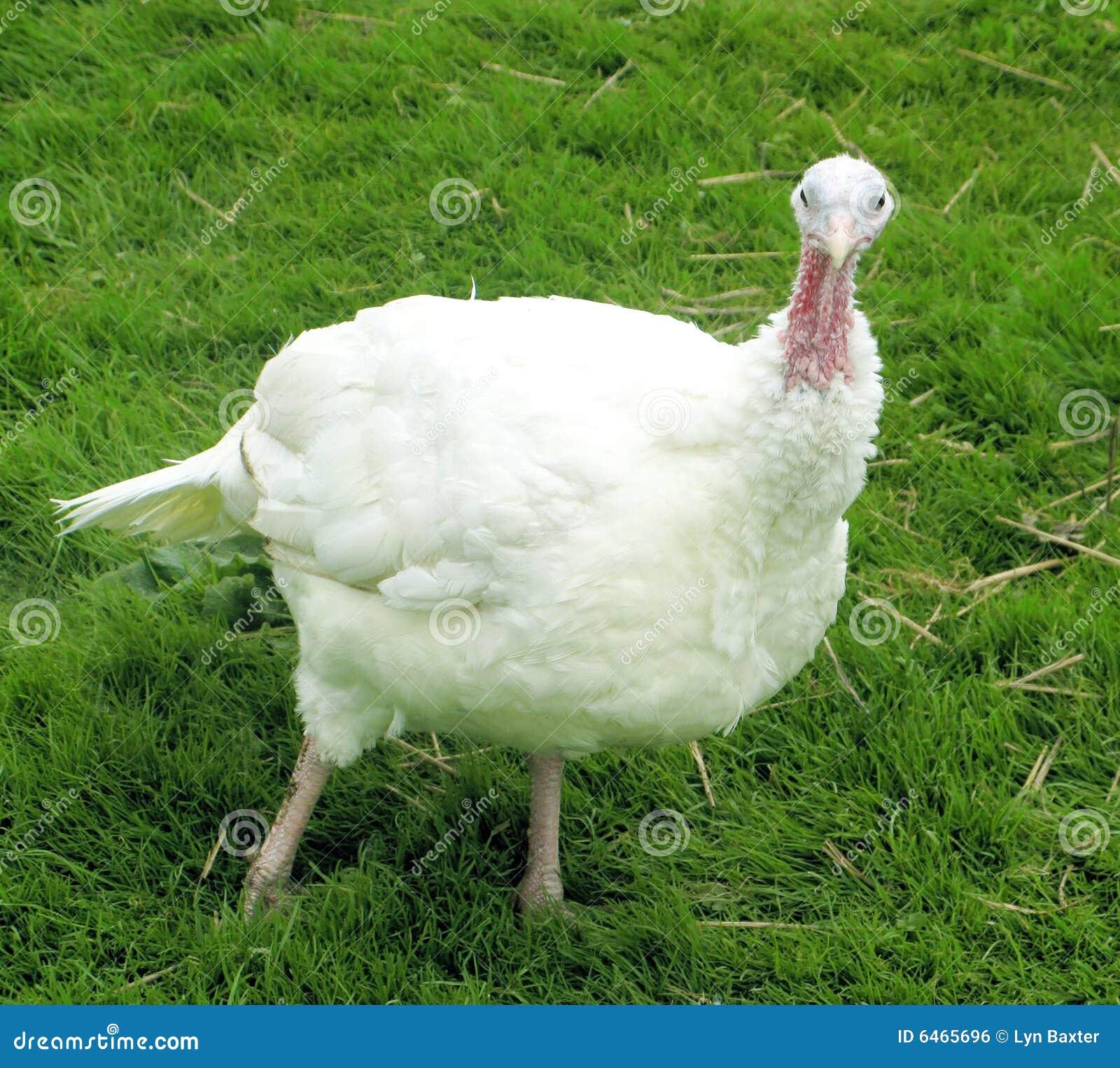 Wielki turcja ujędrnioną white