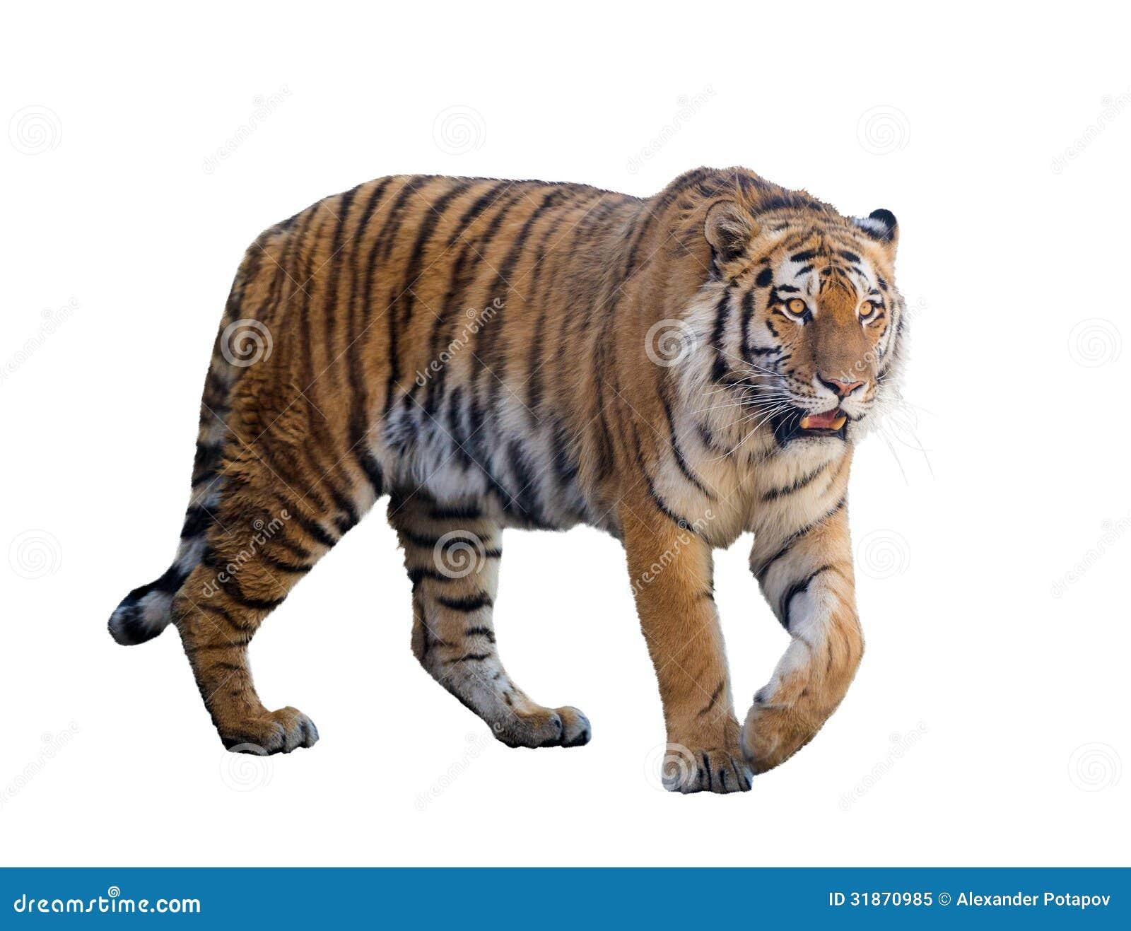 Wielki tygrys odizolowywający na bielu