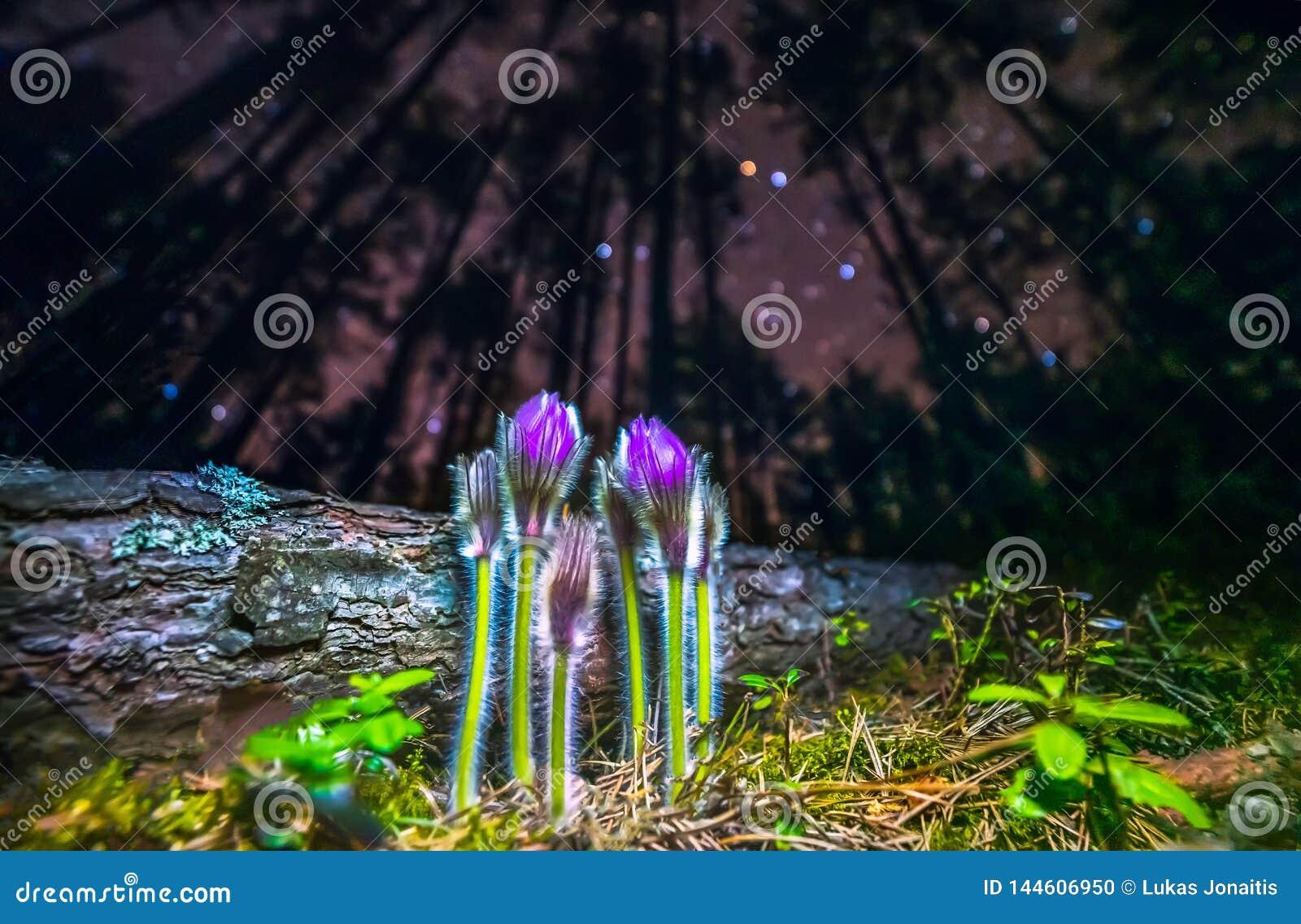 Wielkich pasque kwiatów Pulsatilla grandis fiołkowi kwiaty zamykają w górę nocnego nieba w