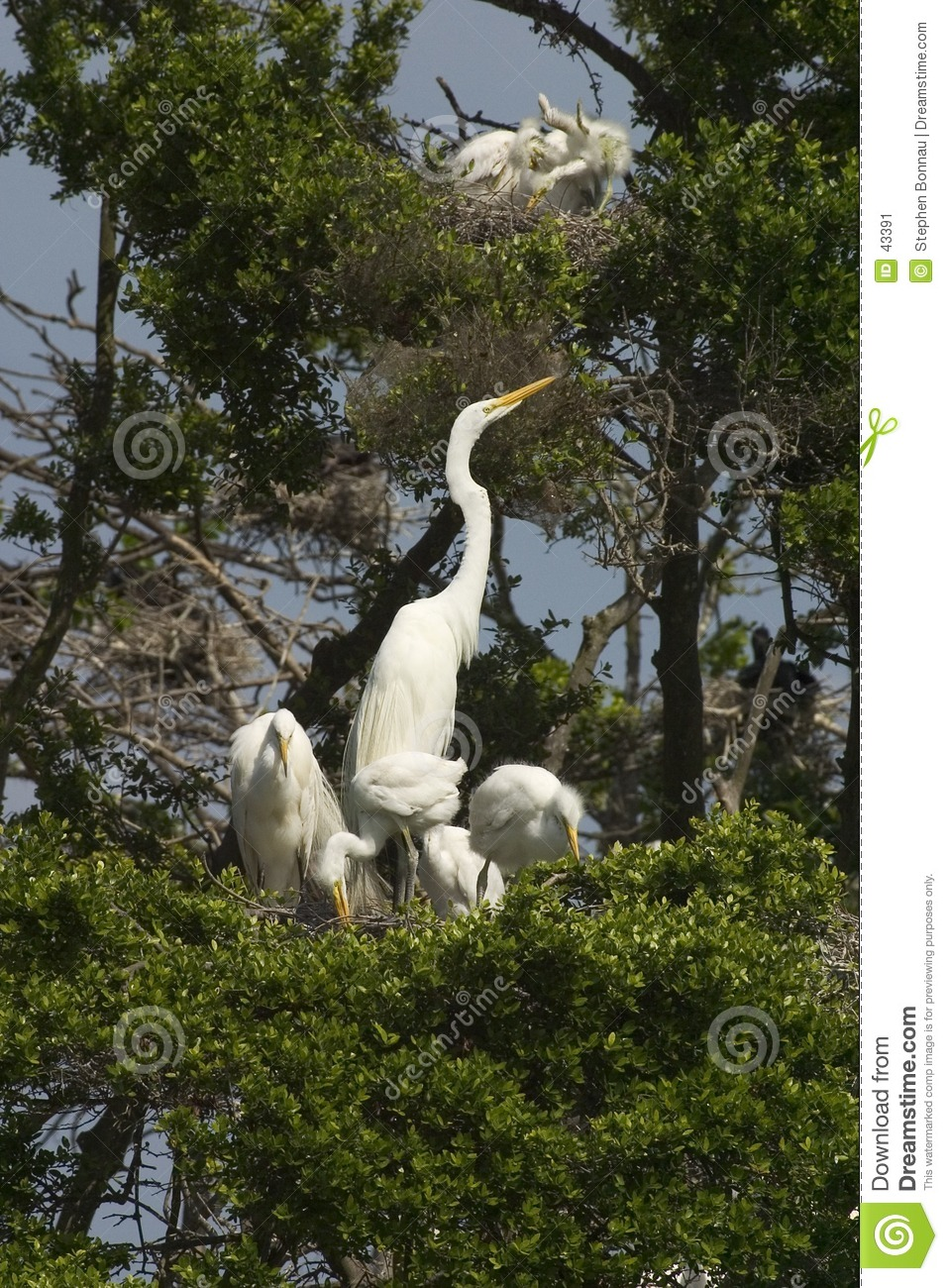 Wielkie egrets young