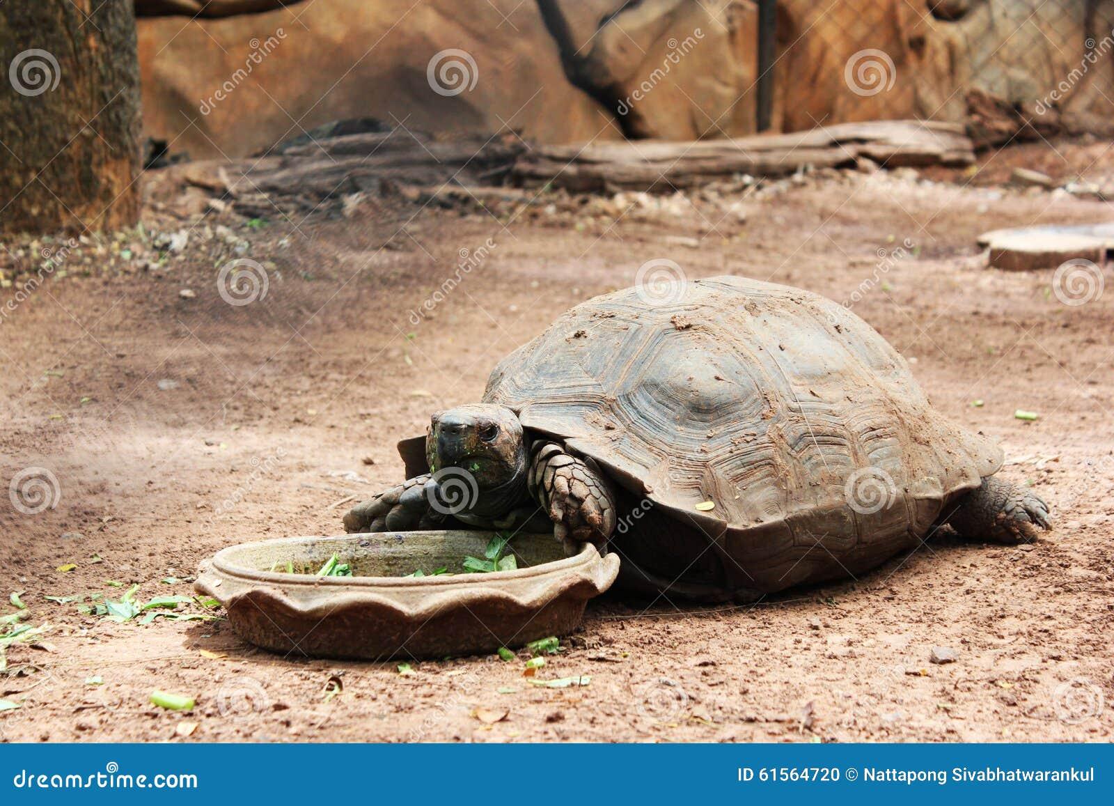 Wielkiego żółwia