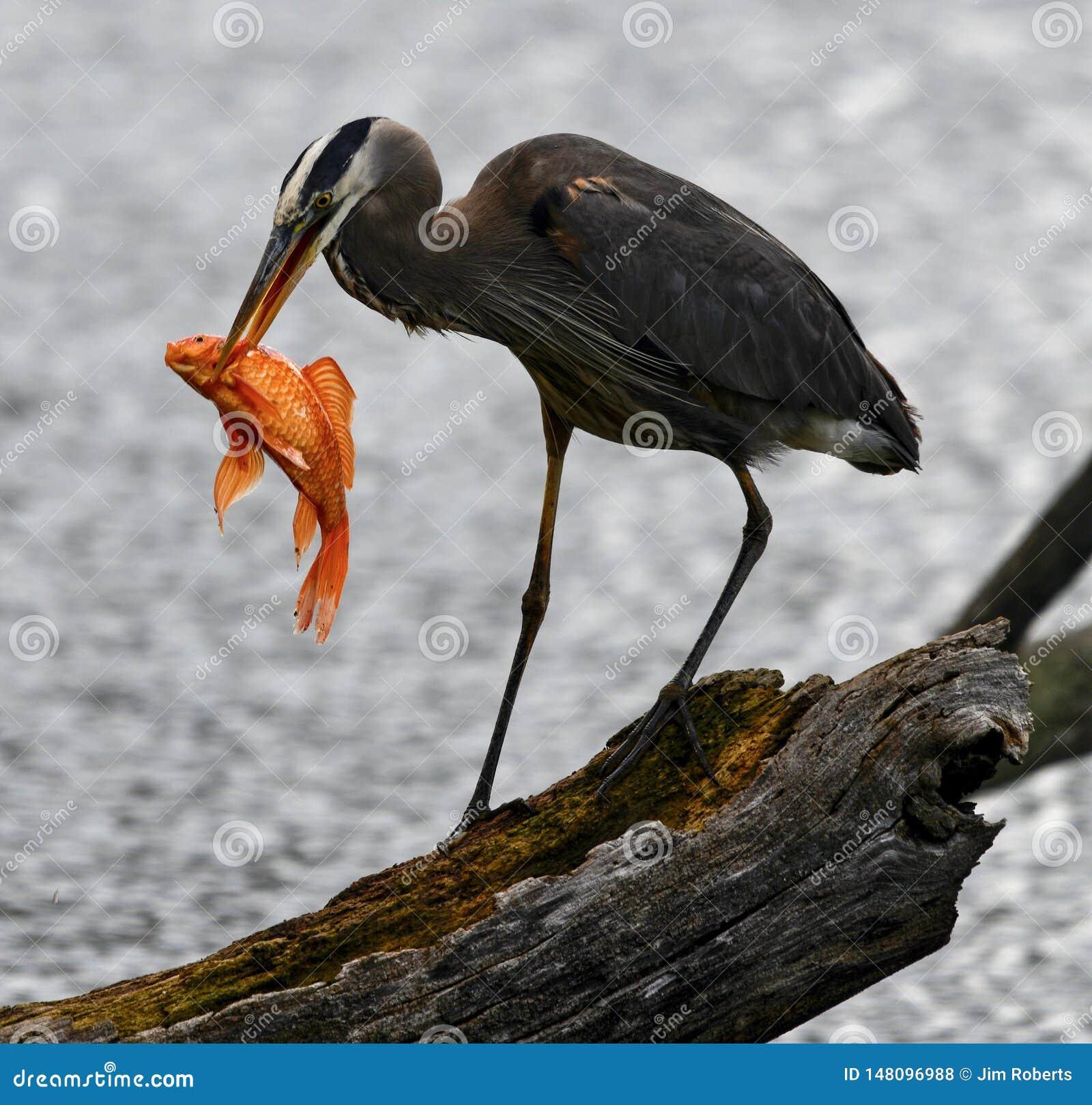 Wielkiego błękita czapla -1 i ryba