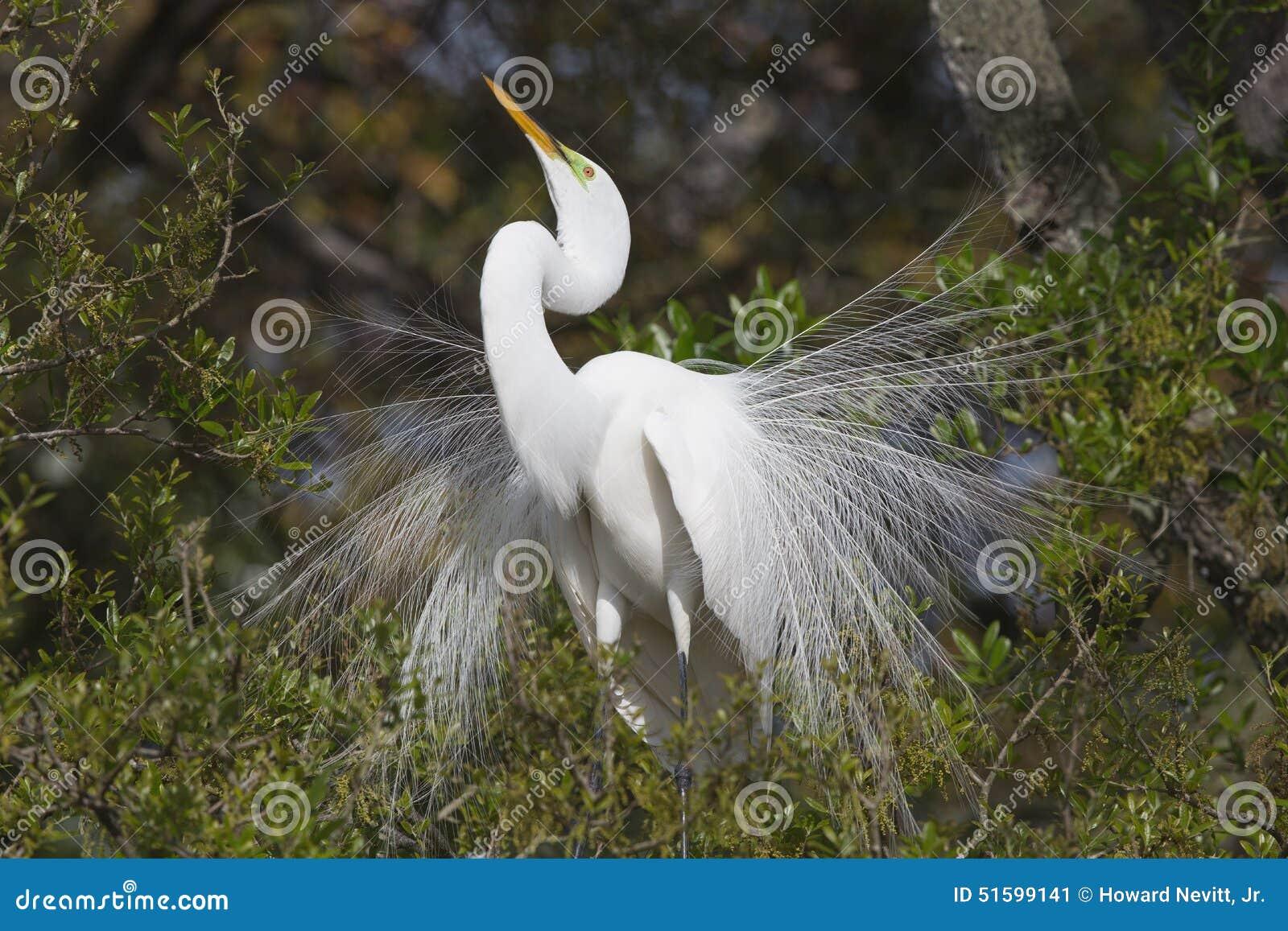 Wielkiego Białego Egret kotelni męski upierzenie