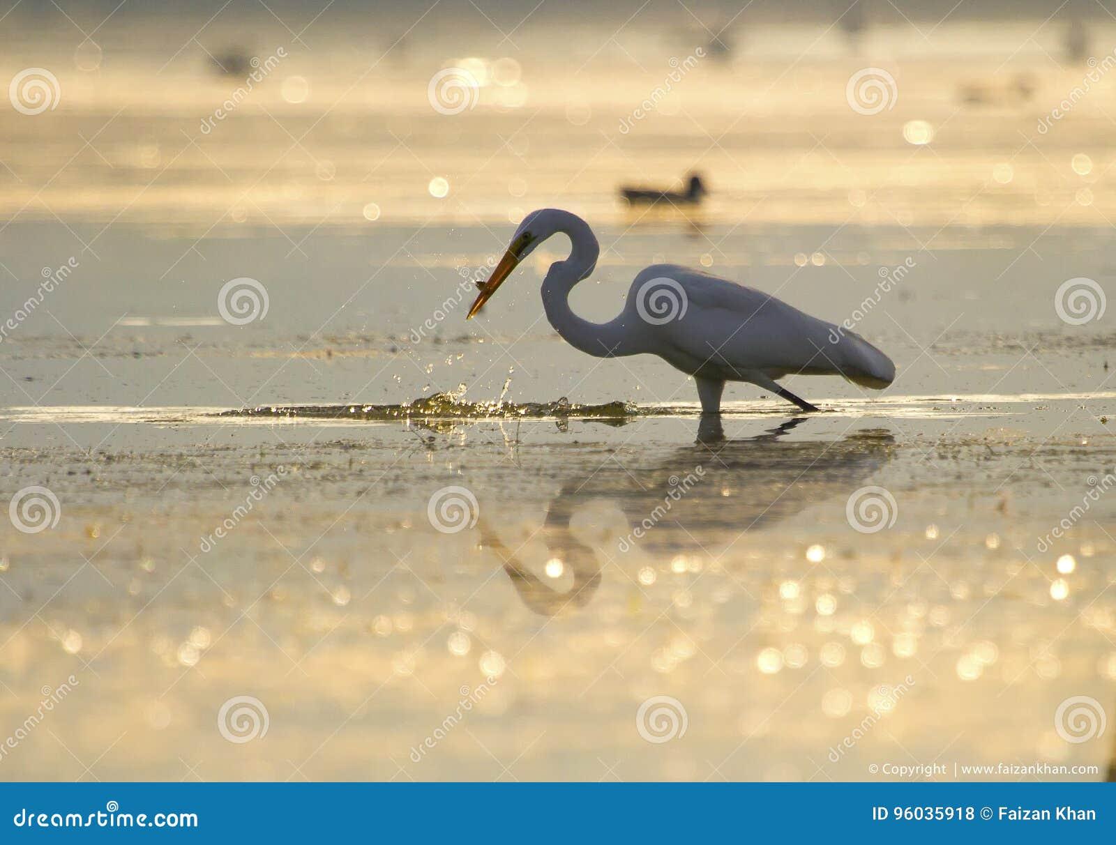 Wielkiego Egret Fishingin Złoty światło