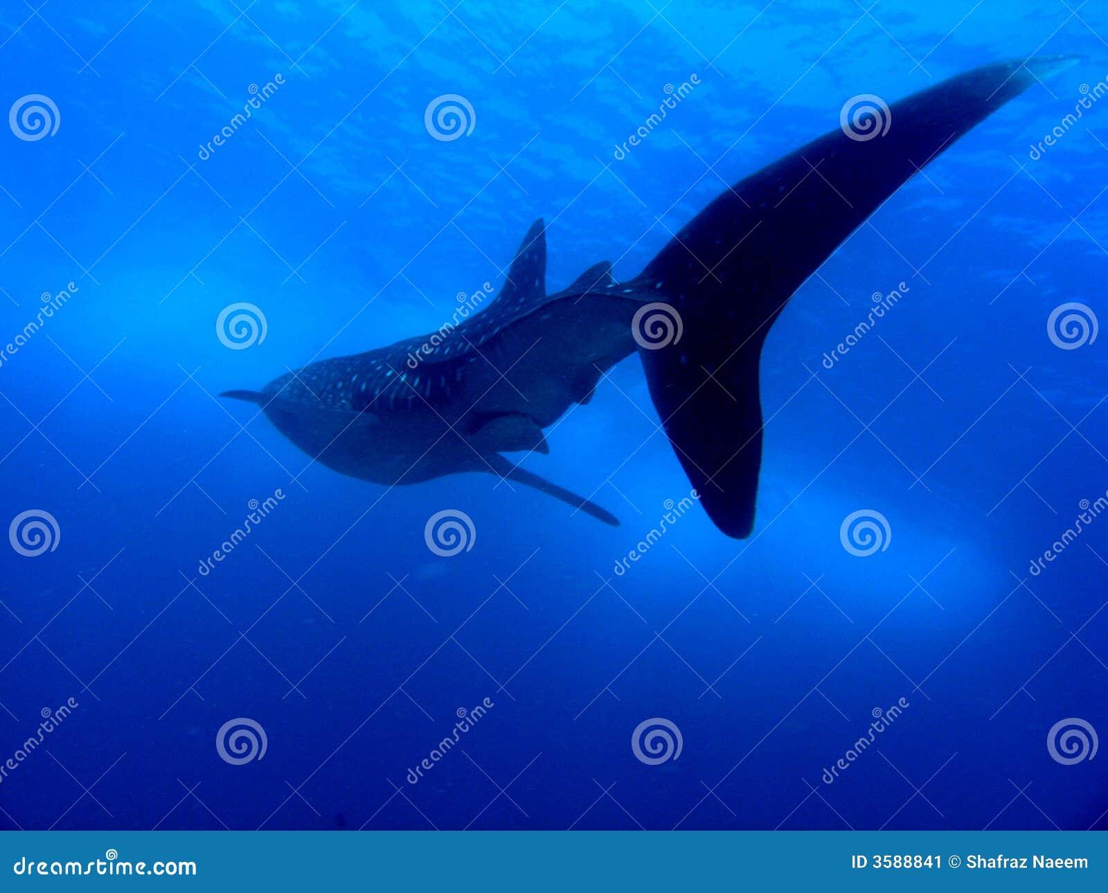 Wieloryb rekina