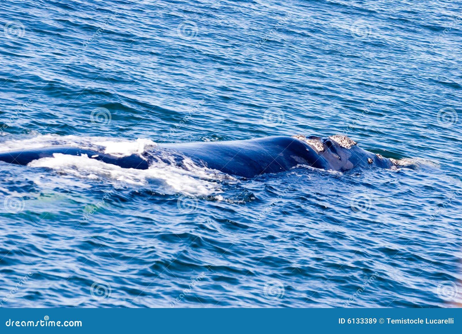 Wieloryb samotny