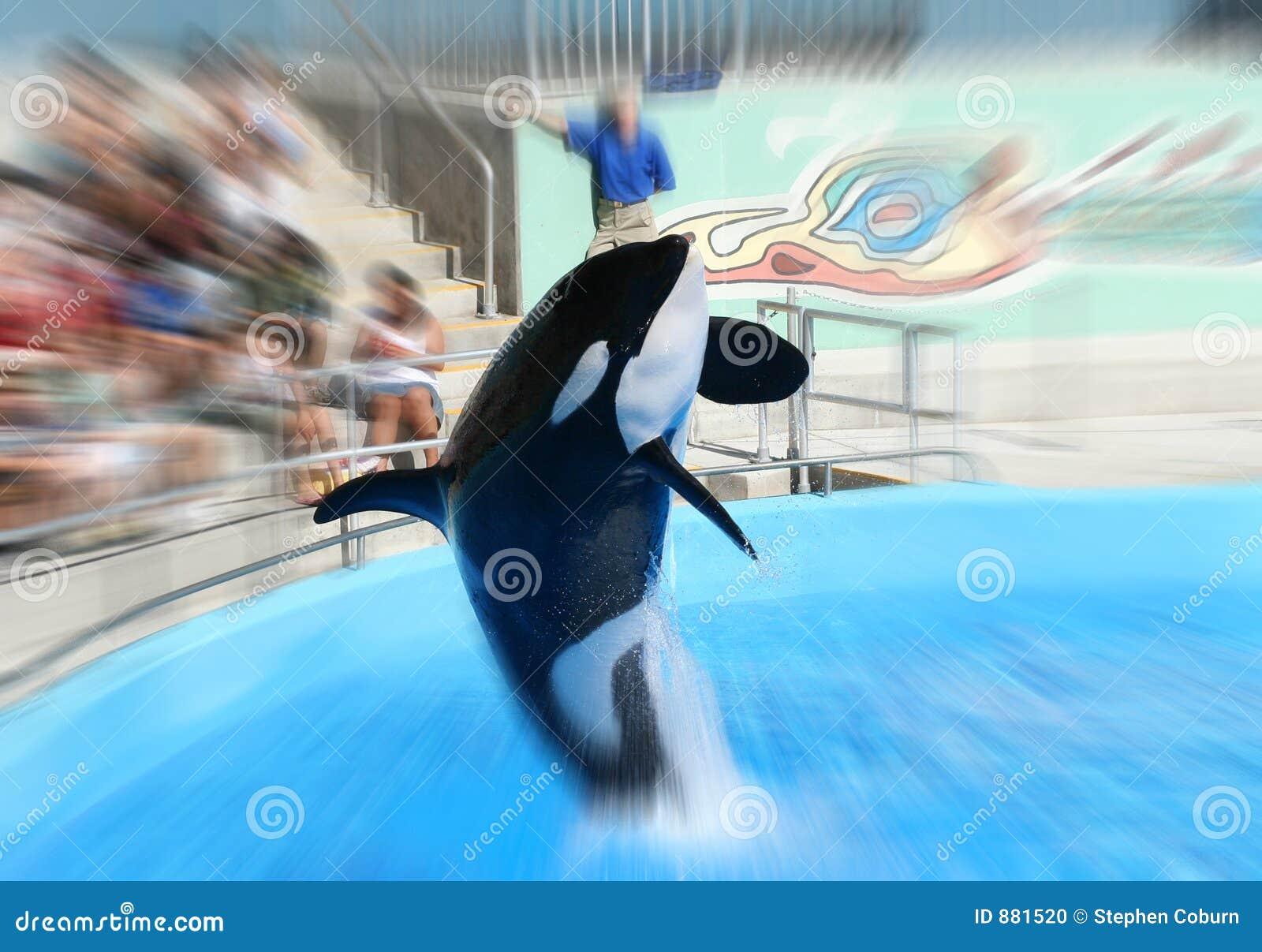 Wieloryb skokowy