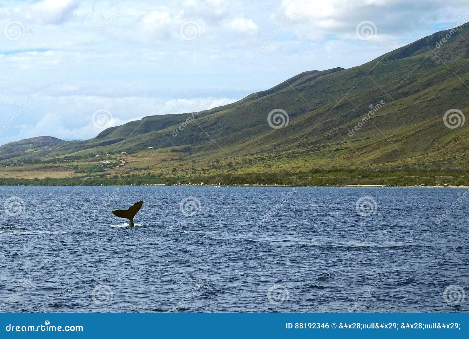Wielorybi dopatrywanie przy Maui