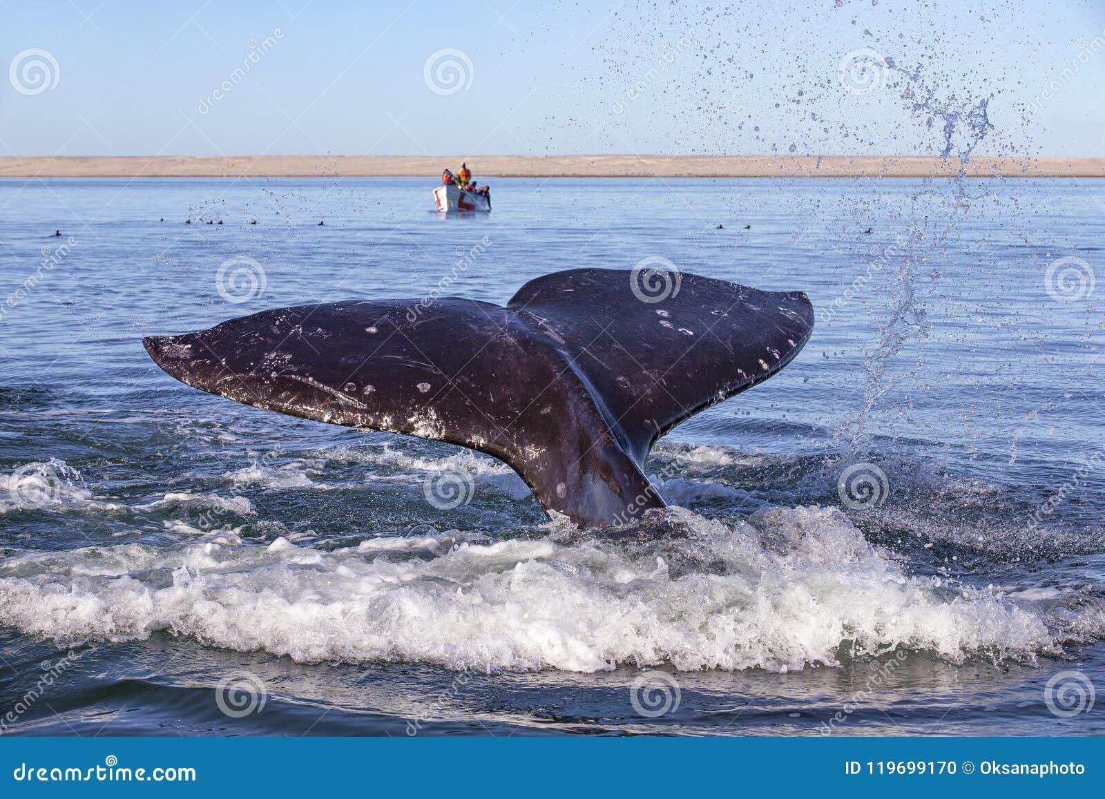 Wielorybi dopatrywanie w Baj