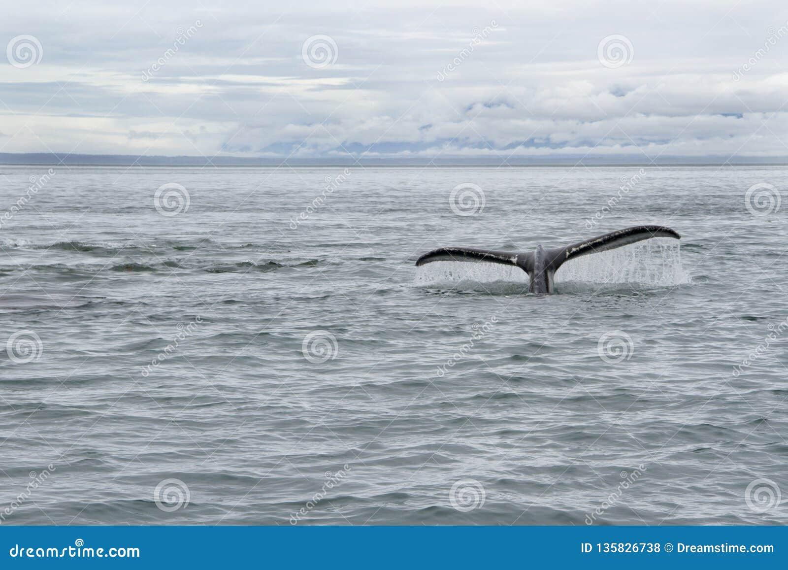Wielorybi ogon w Alaska
