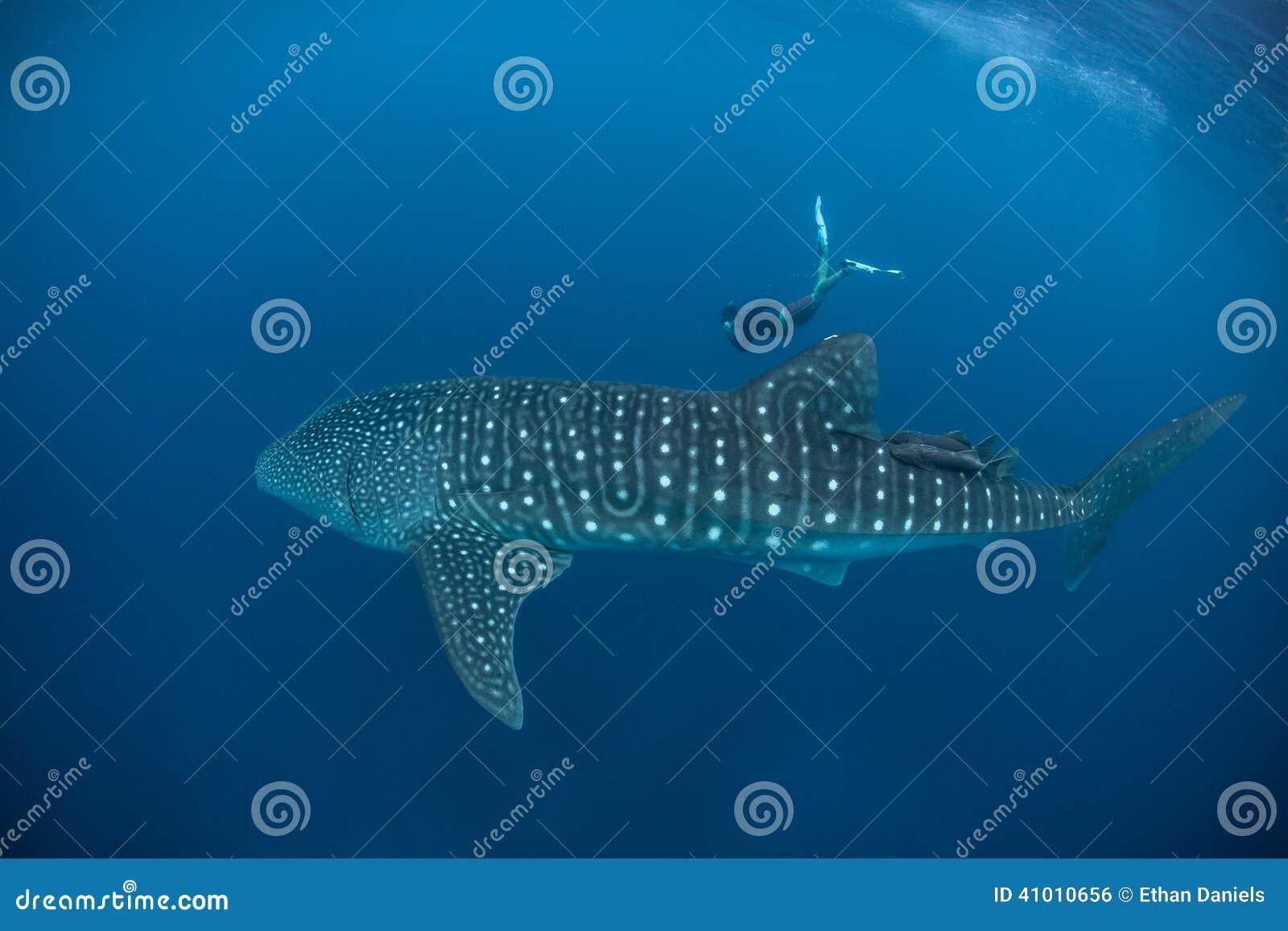 Wielorybi rekin i Bezpłatny nurek