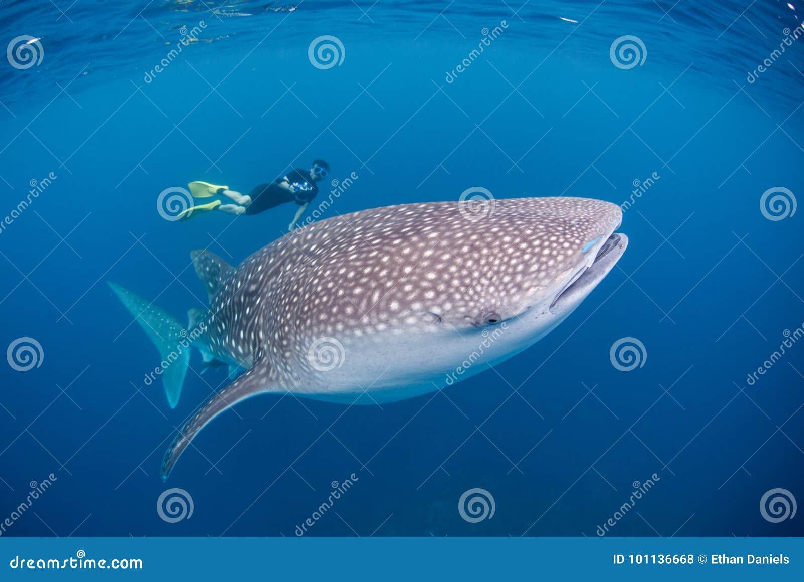 Wielorybi rekin i nurek