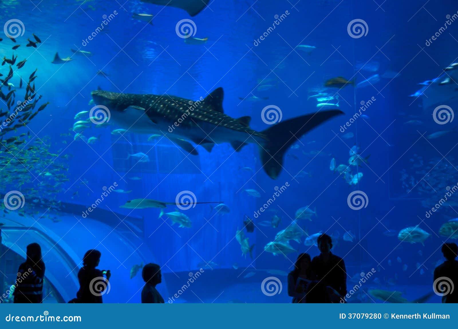 Download Wielorybiego Rekinu Dopatrywanie Obraz Editorial - Obraz złożonej z turysta, woda: 37079280