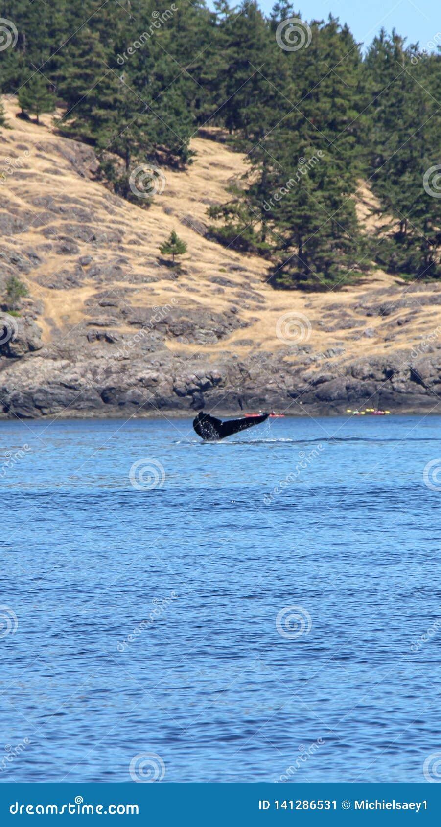 Wieloryby spoting przy orki wyspą Washington