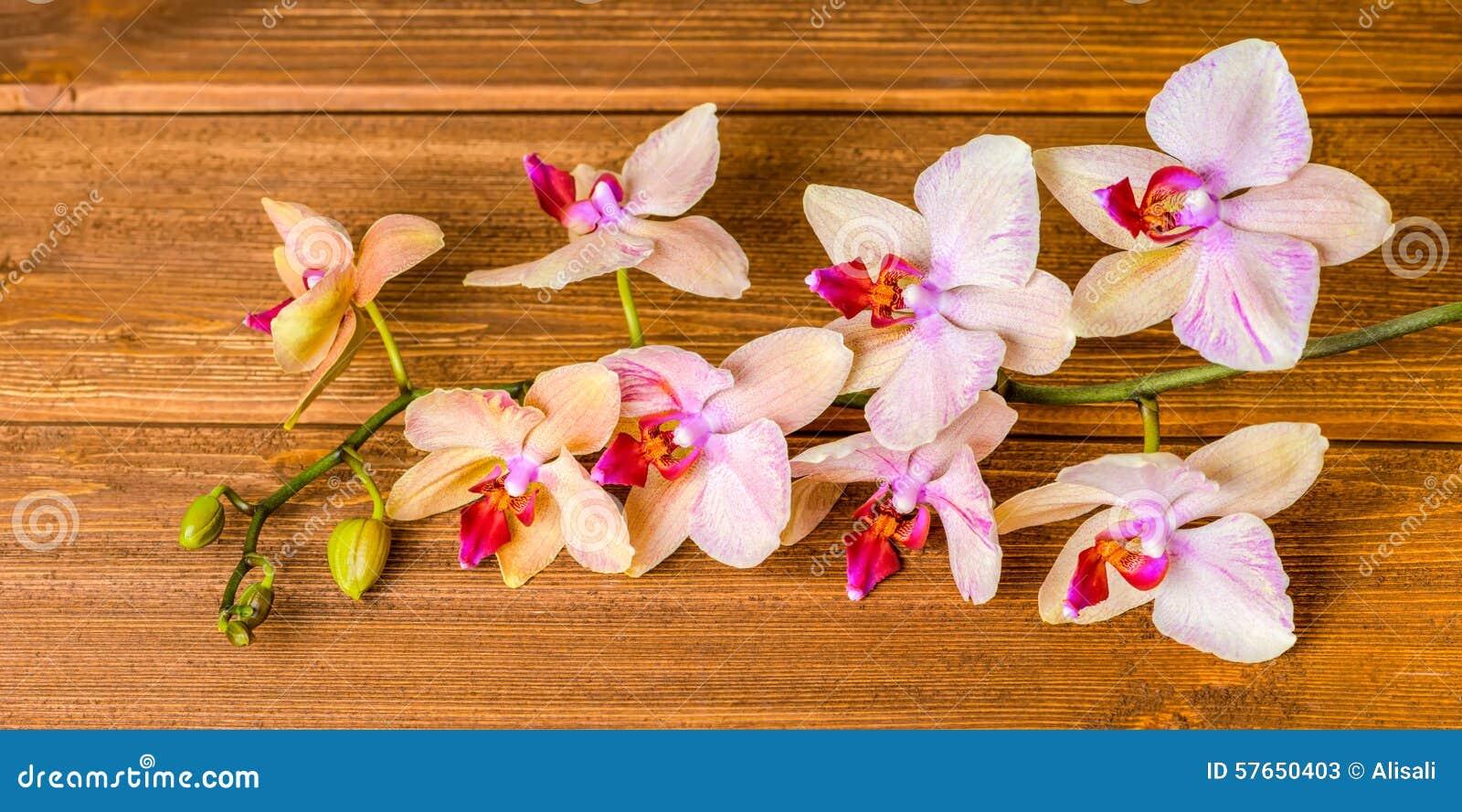 Wierzchołka puszek pięknej kwitnienie gałązki storczykowy kwiat, phalaenopsis