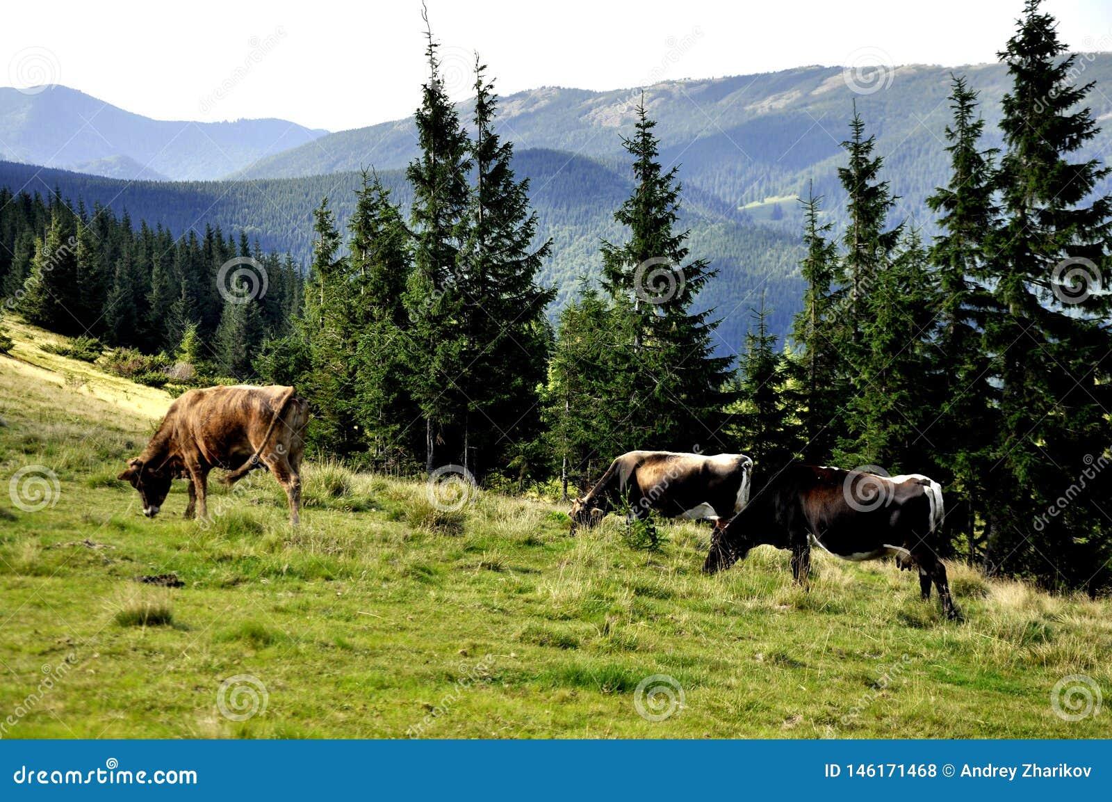 Wiese in den Bergen mit Bäumen und Kühen