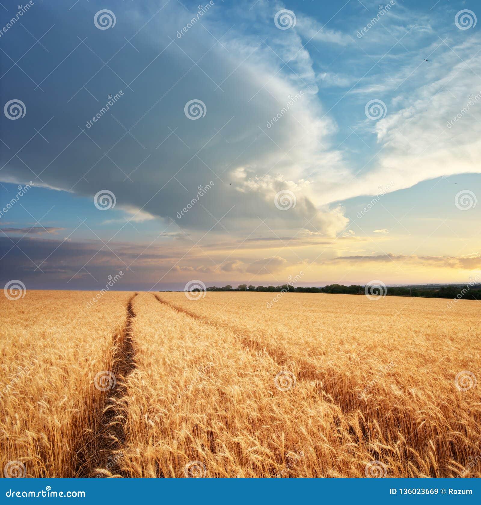 Wiese des Weizens