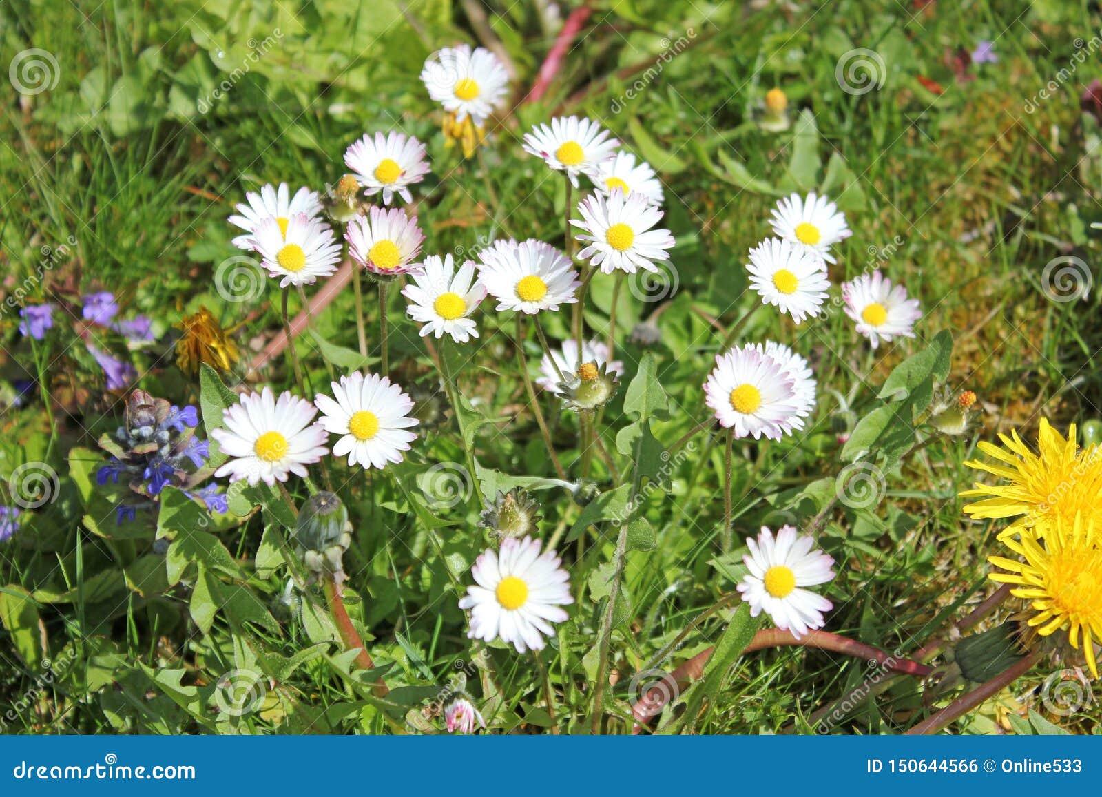 Wiese mit Gänseblümchen im Sommer