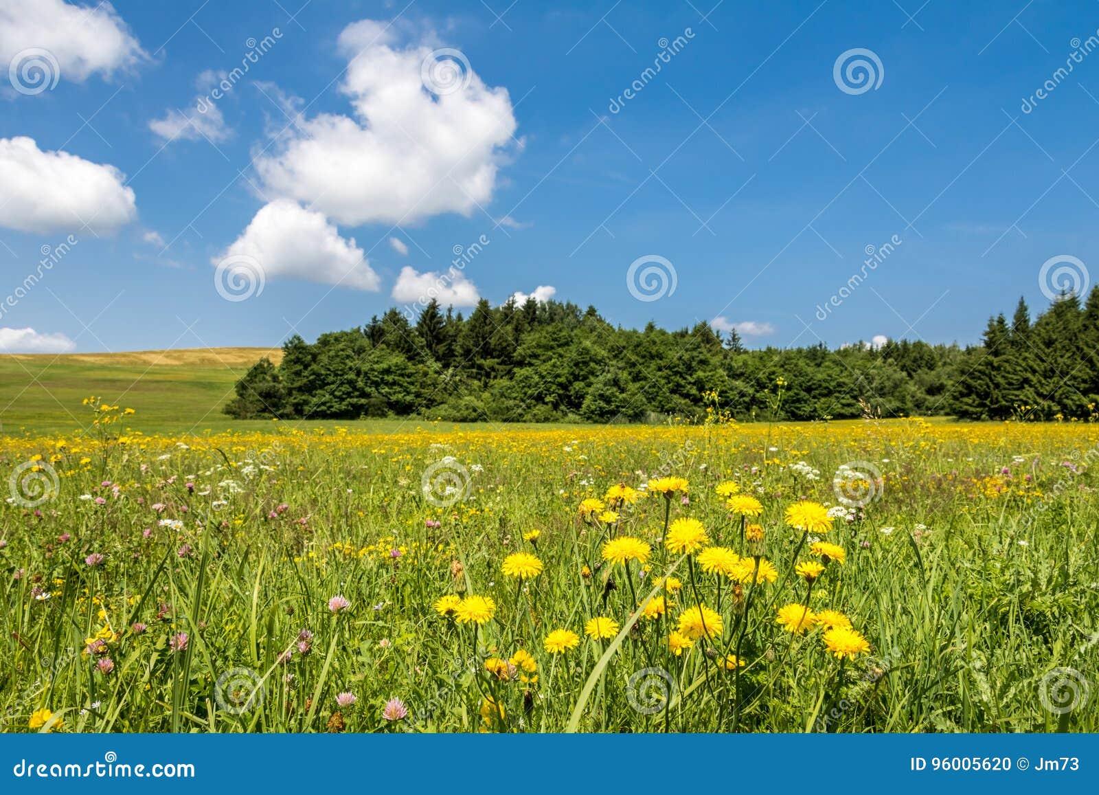 wiese mit gelben blumen wald und blauem himmel stockfoto bild von sonnig umgebung 96005620. Black Bedroom Furniture Sets. Home Design Ideas