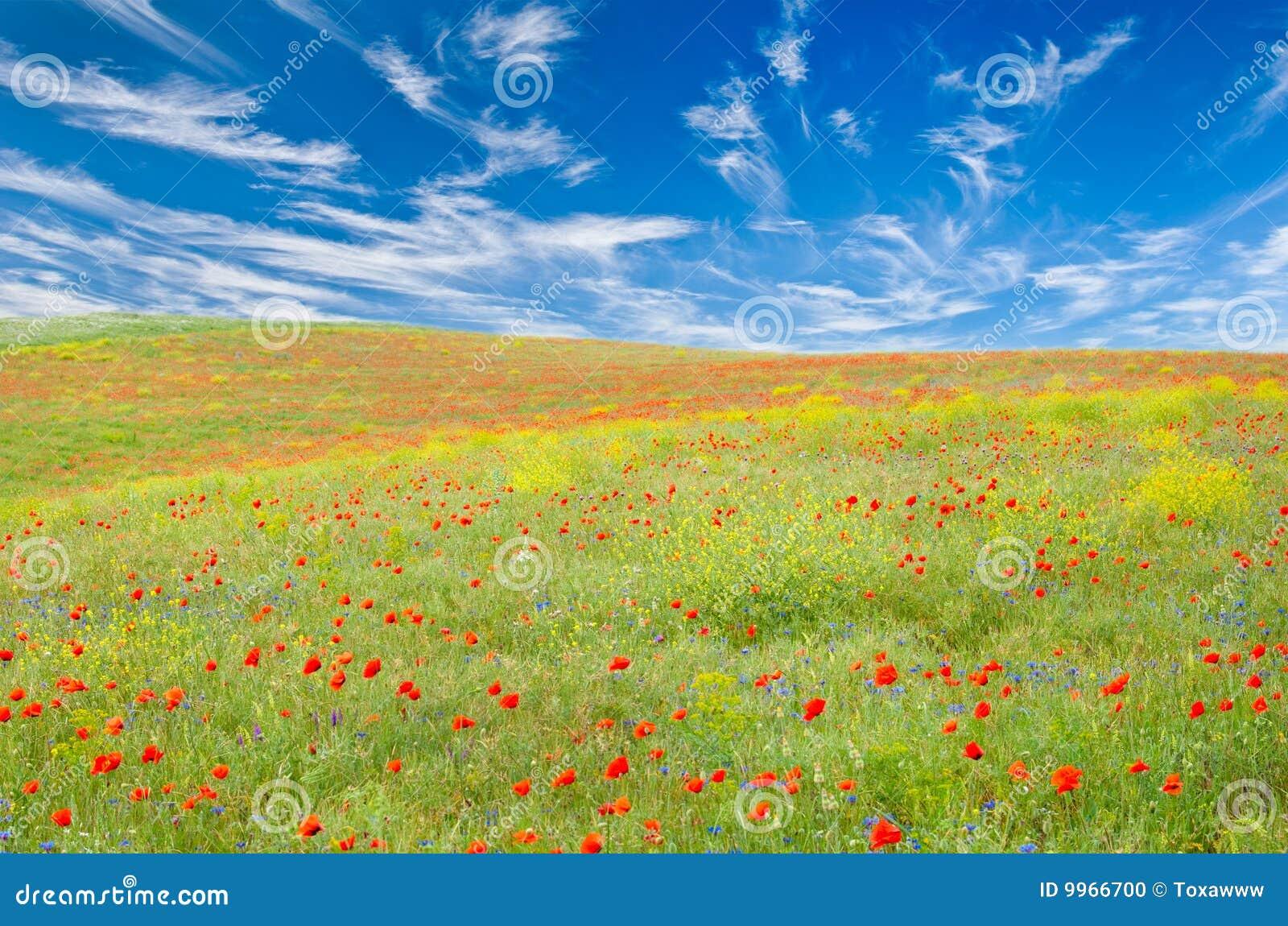 wiese mit mohnblumen cornflowers gelbe blumen stockfoto bild von fleecy landschaft 9966700. Black Bedroom Furniture Sets. Home Design Ideas