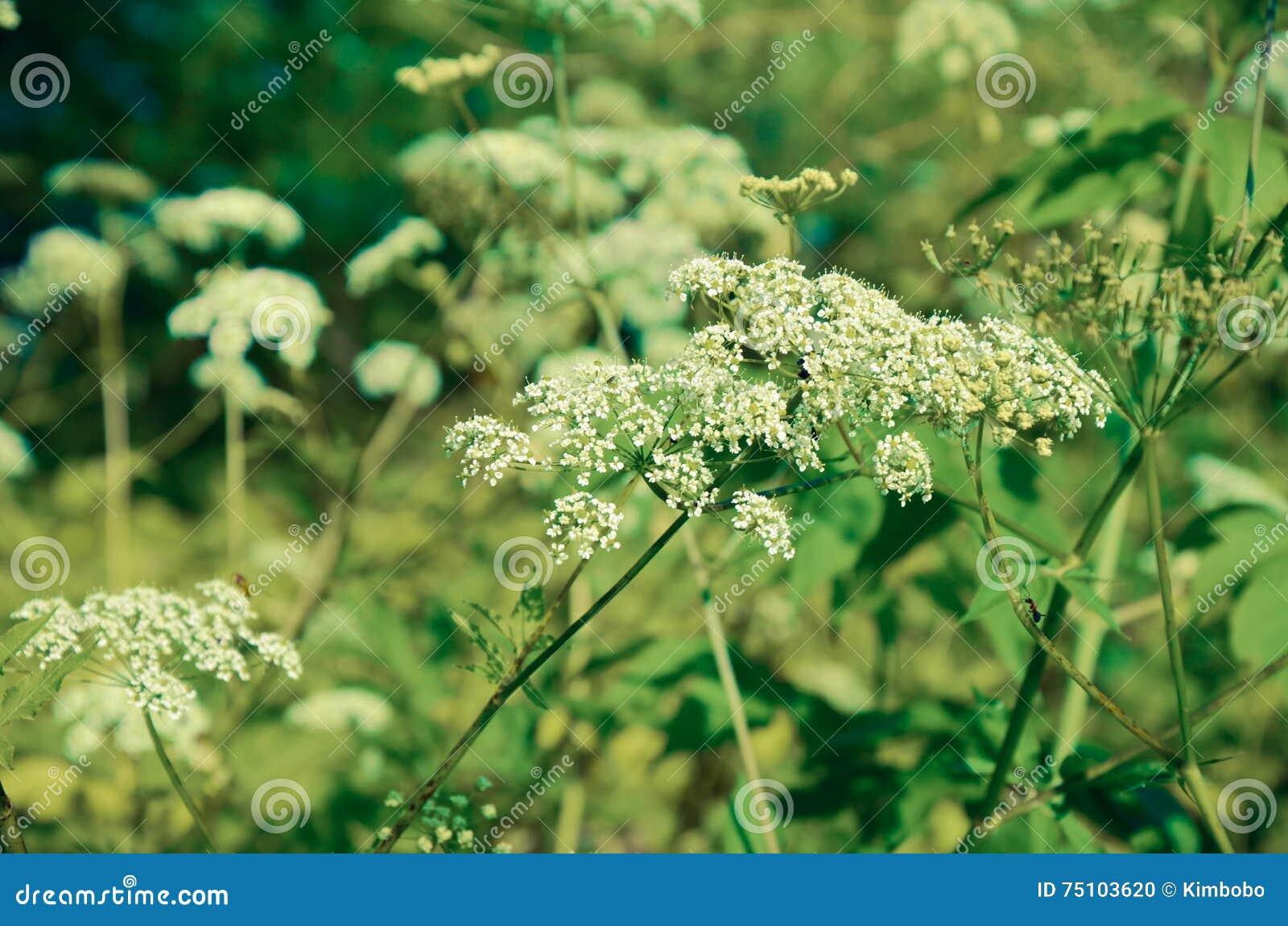 wiesen kerbel anthriscus sylvestris wei e sommerfeldblume stockfoto bild 75103620. Black Bedroom Furniture Sets. Home Design Ideas