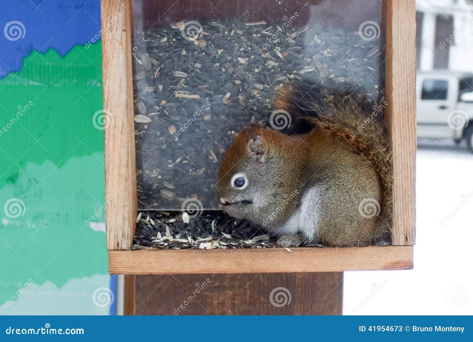 Wiewiórczy karmień ziarna w ptasim dozowniku, Orangeville, Dufferin C