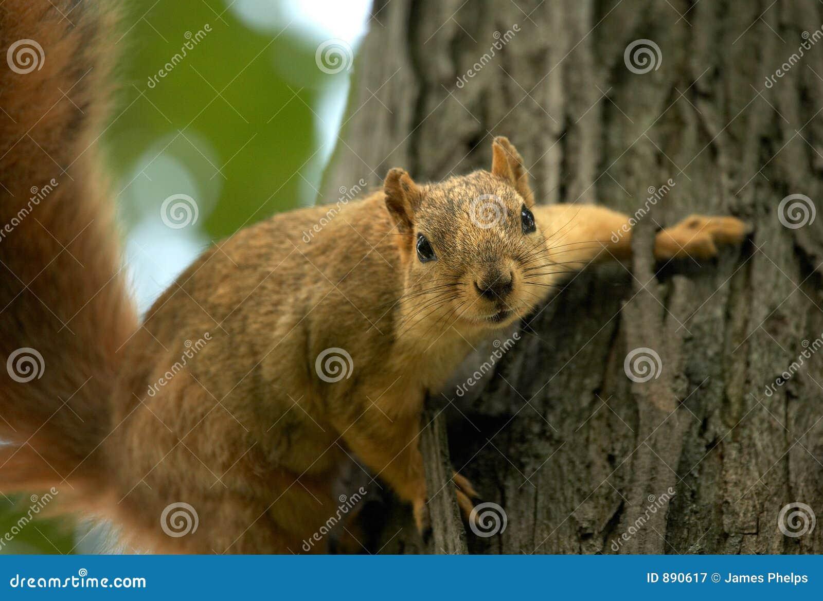 Wiewiórka drzewo