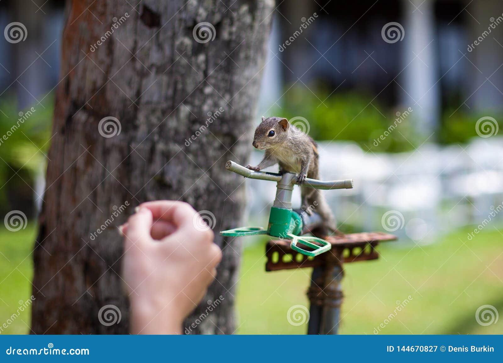 Wiewiórka na drzewku palmowym w górę próbować pić wodę od systemu irygacyjnego hotel