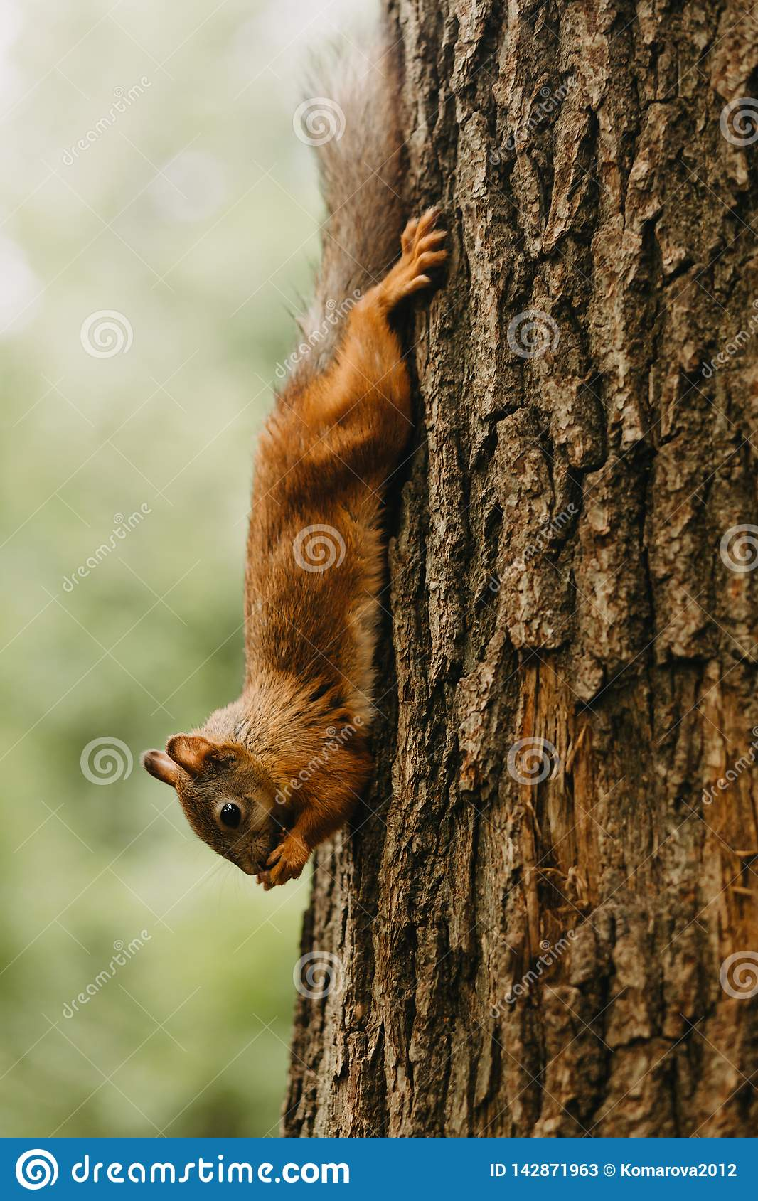 Wiewiórka na drzewnym łasowaniu dokrętka