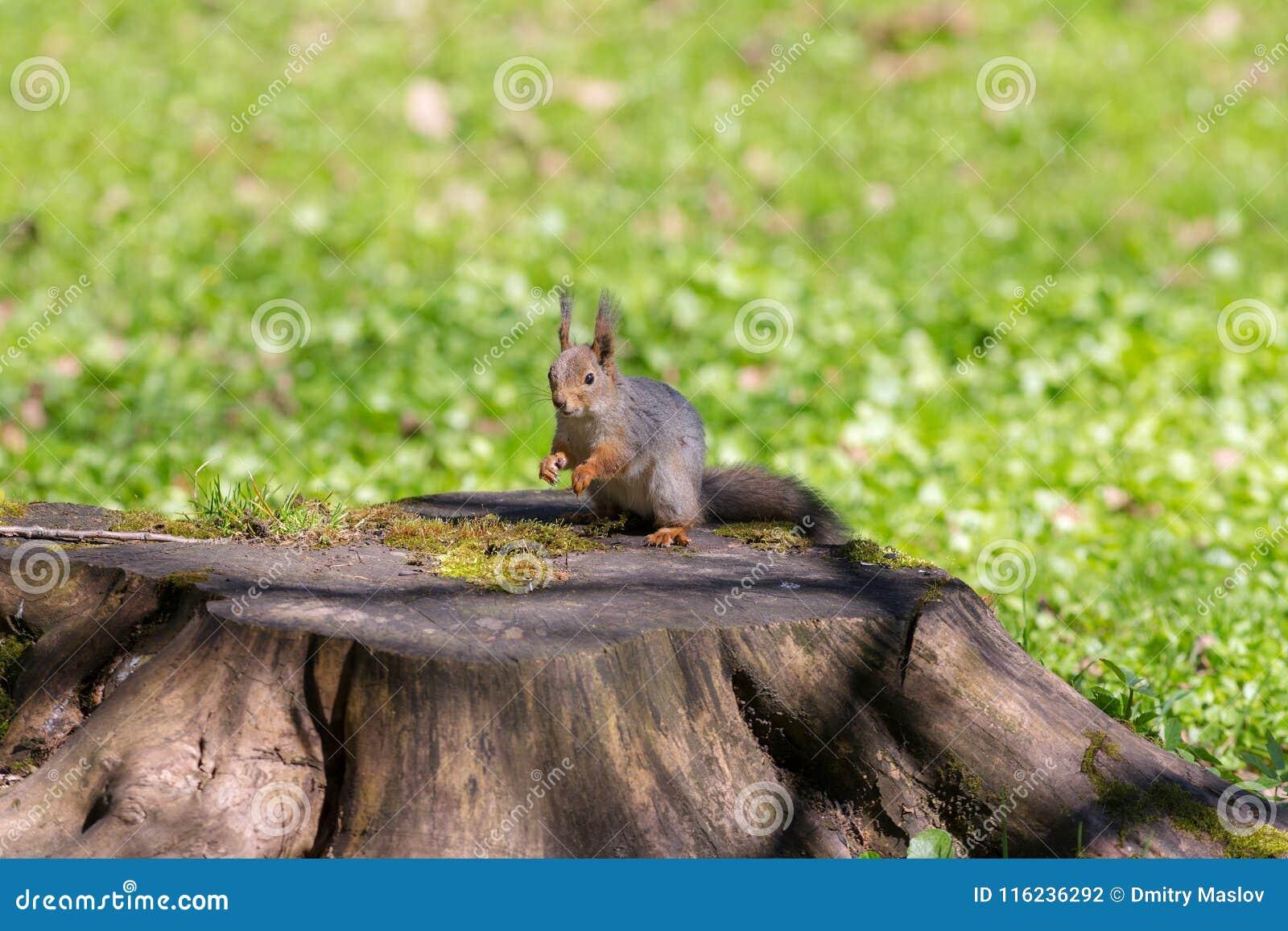 Wiewiórka na konopie