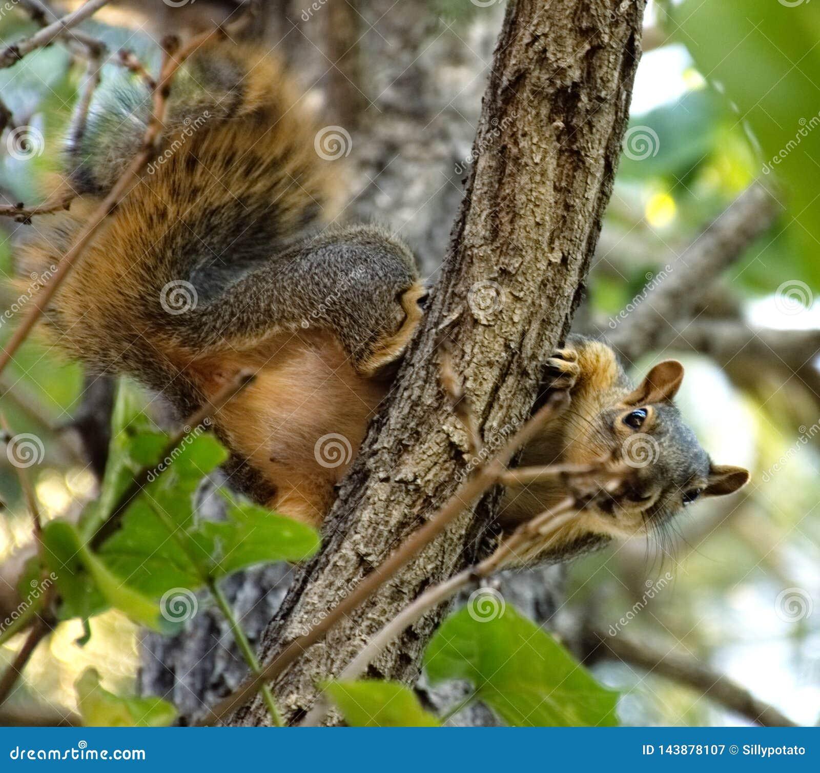 Wiewiórka patrzeje prostego puszek
