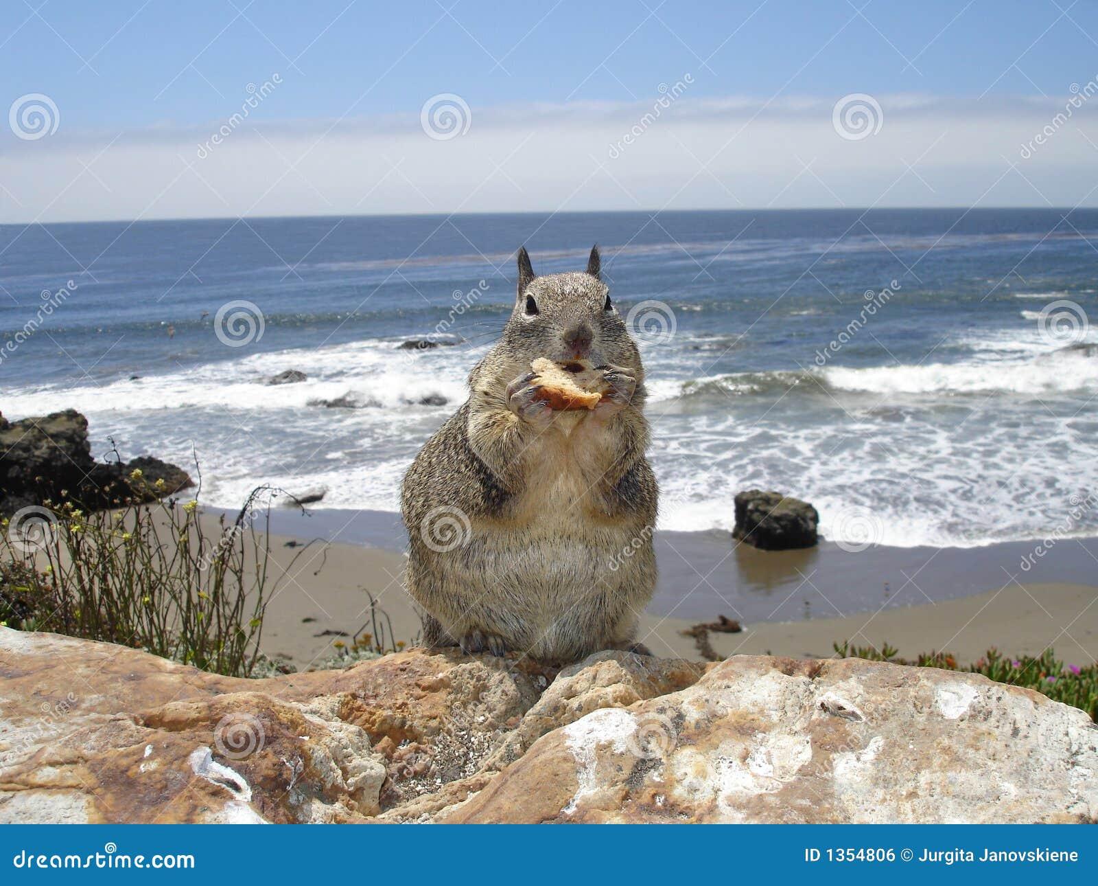 Wiewiórka plażowa
