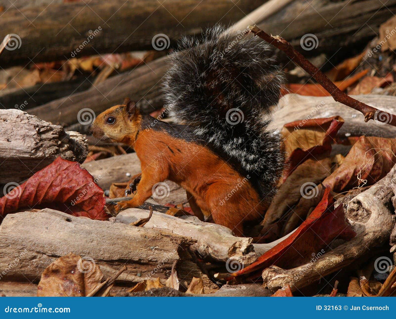 Wiewiórka pstrokacąca