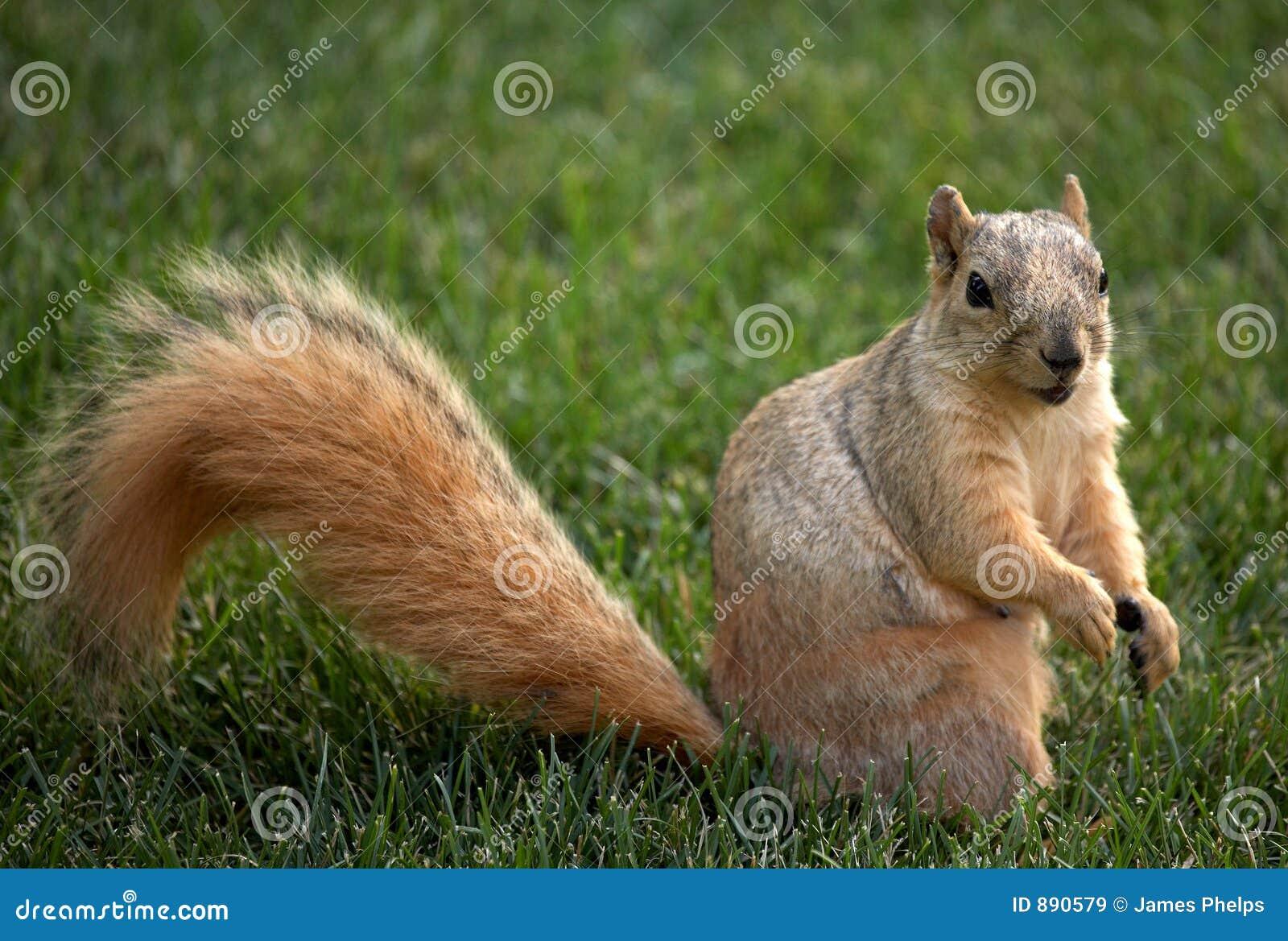 Wiewiórka trawnik,