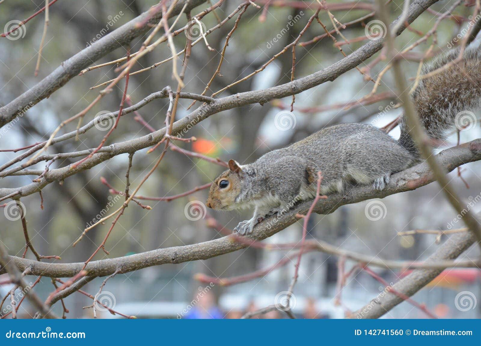 Wiewiórka w wiosny washington dc
